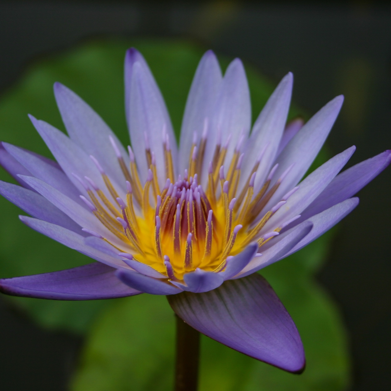 Nymphaea 'Margaret Mary' - Tropical
