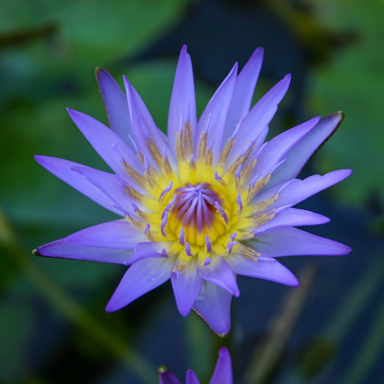 Nymphaea 'Nora' - Tropical