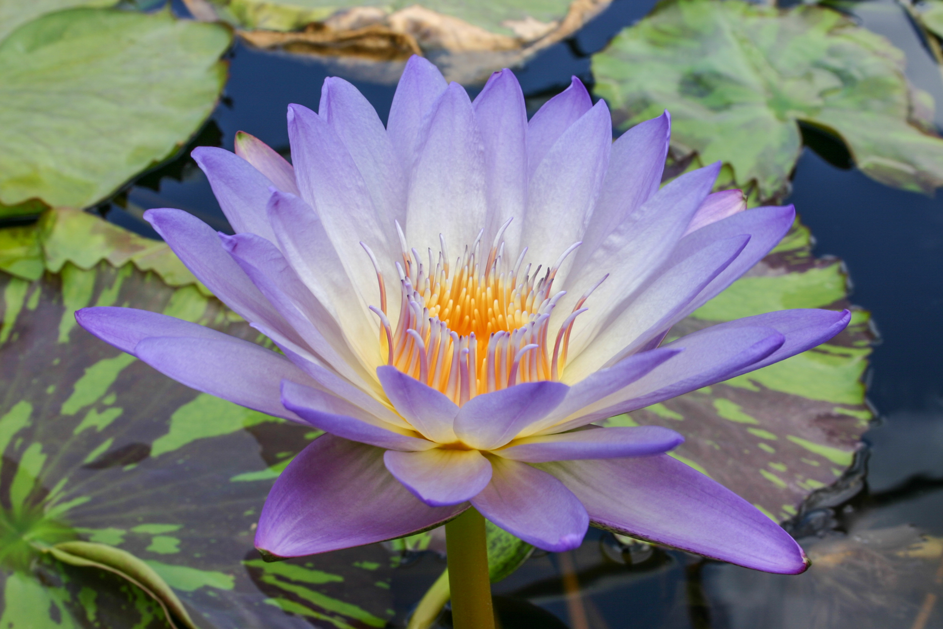 Nymphaea Southern Charm