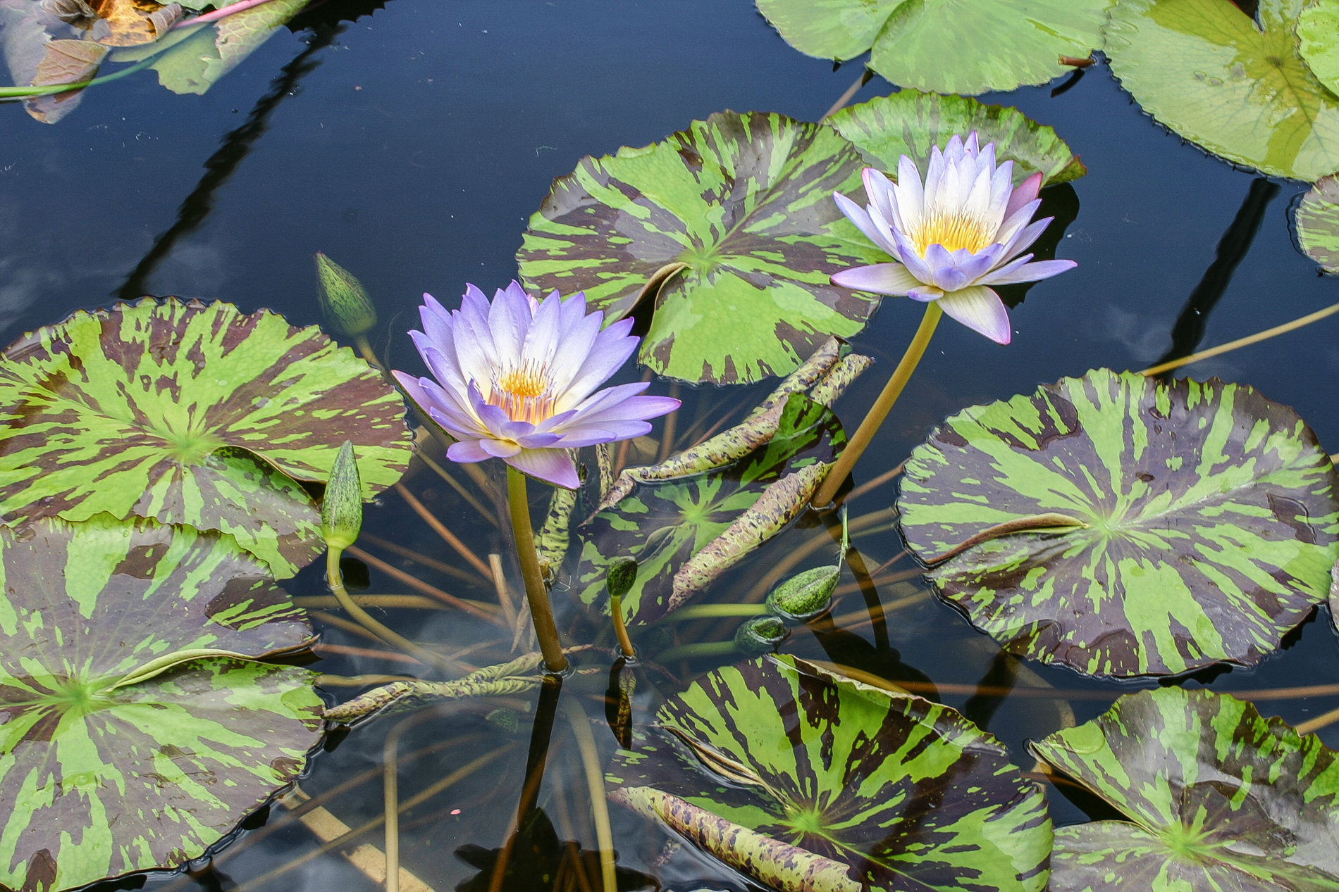 Nymphaea 'Southern Charm' (1 of 1).jpg