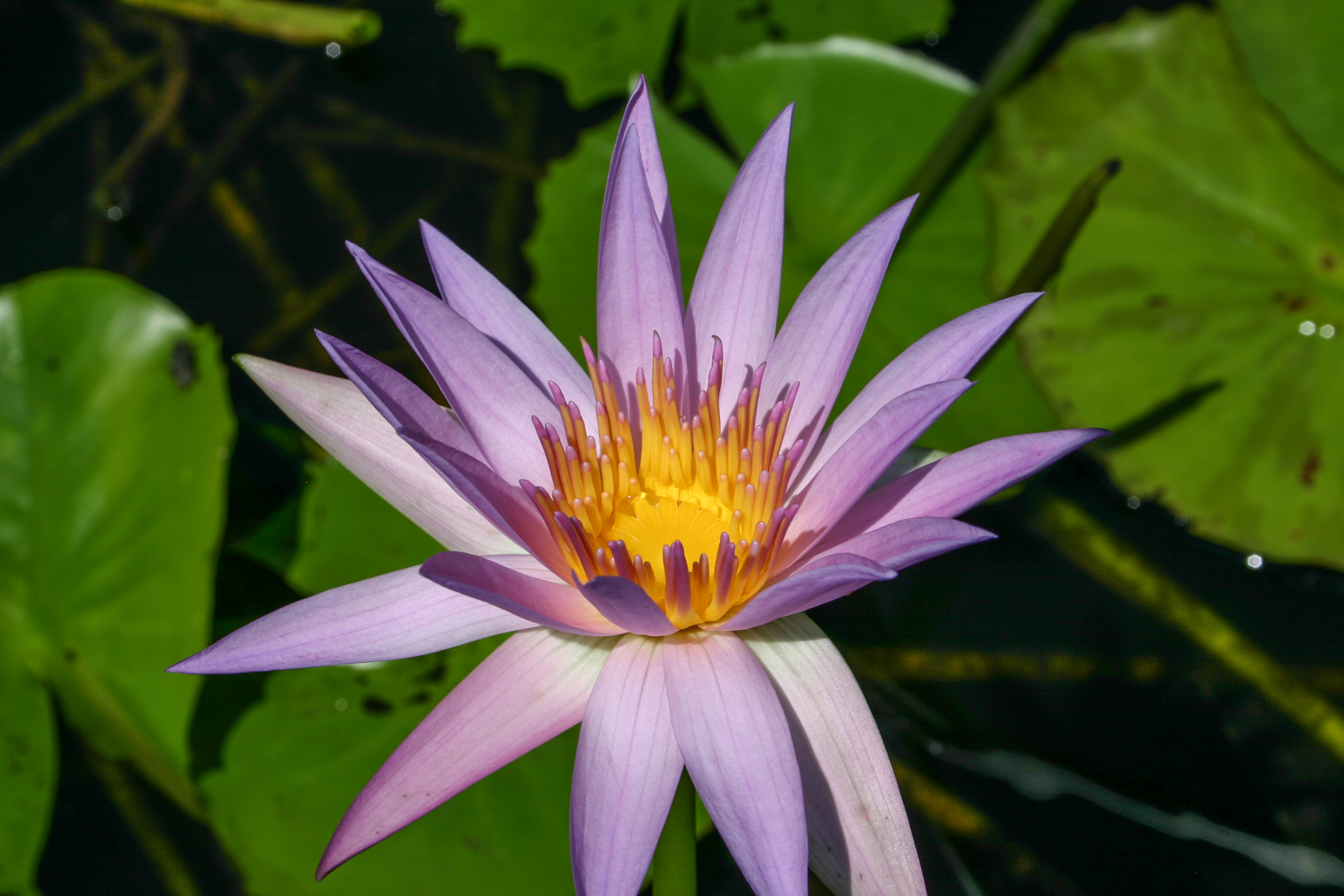 Nymphaea 'Orchid Star' (1 of 1).jpg