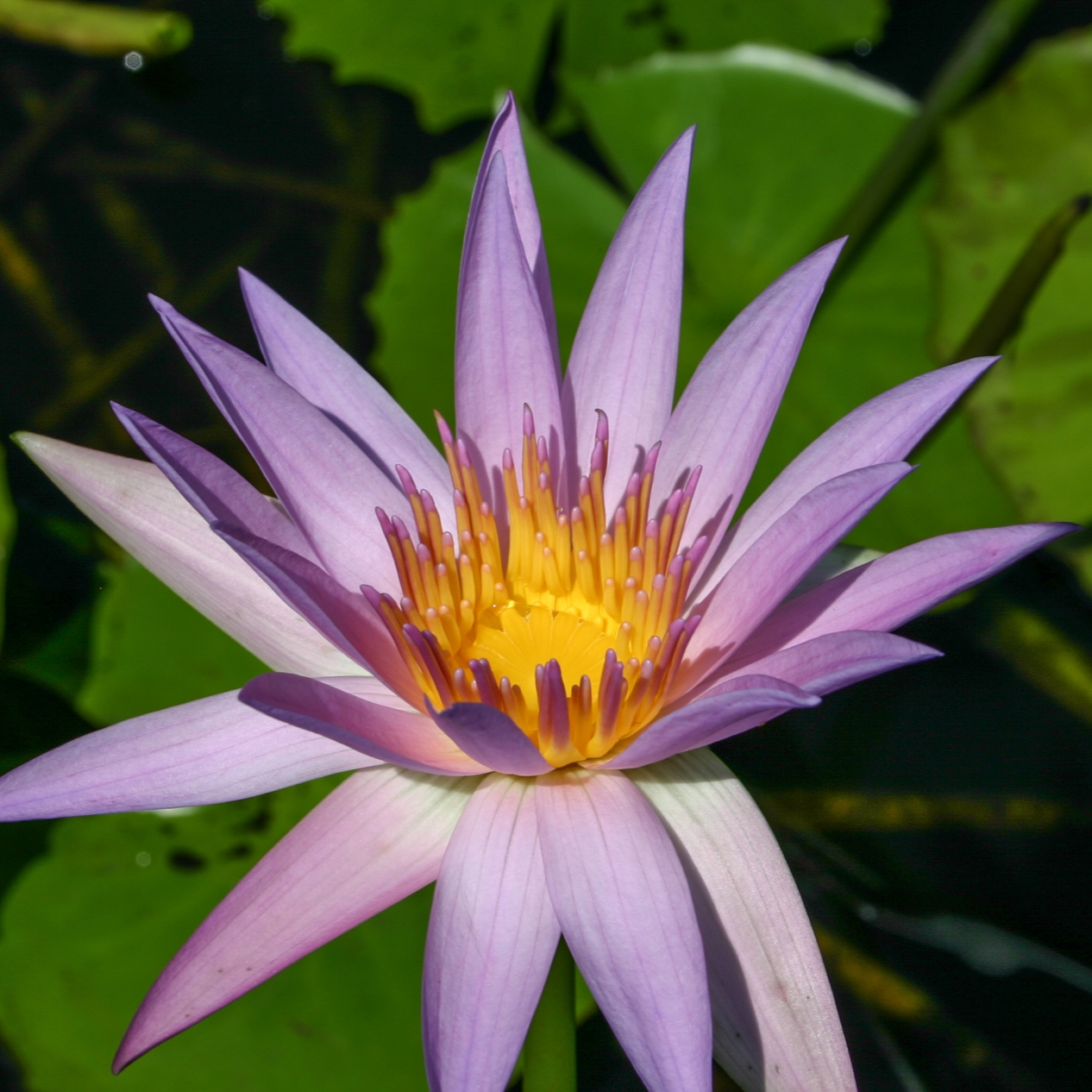 Nymphaea 'Orchid Star' - Tropical