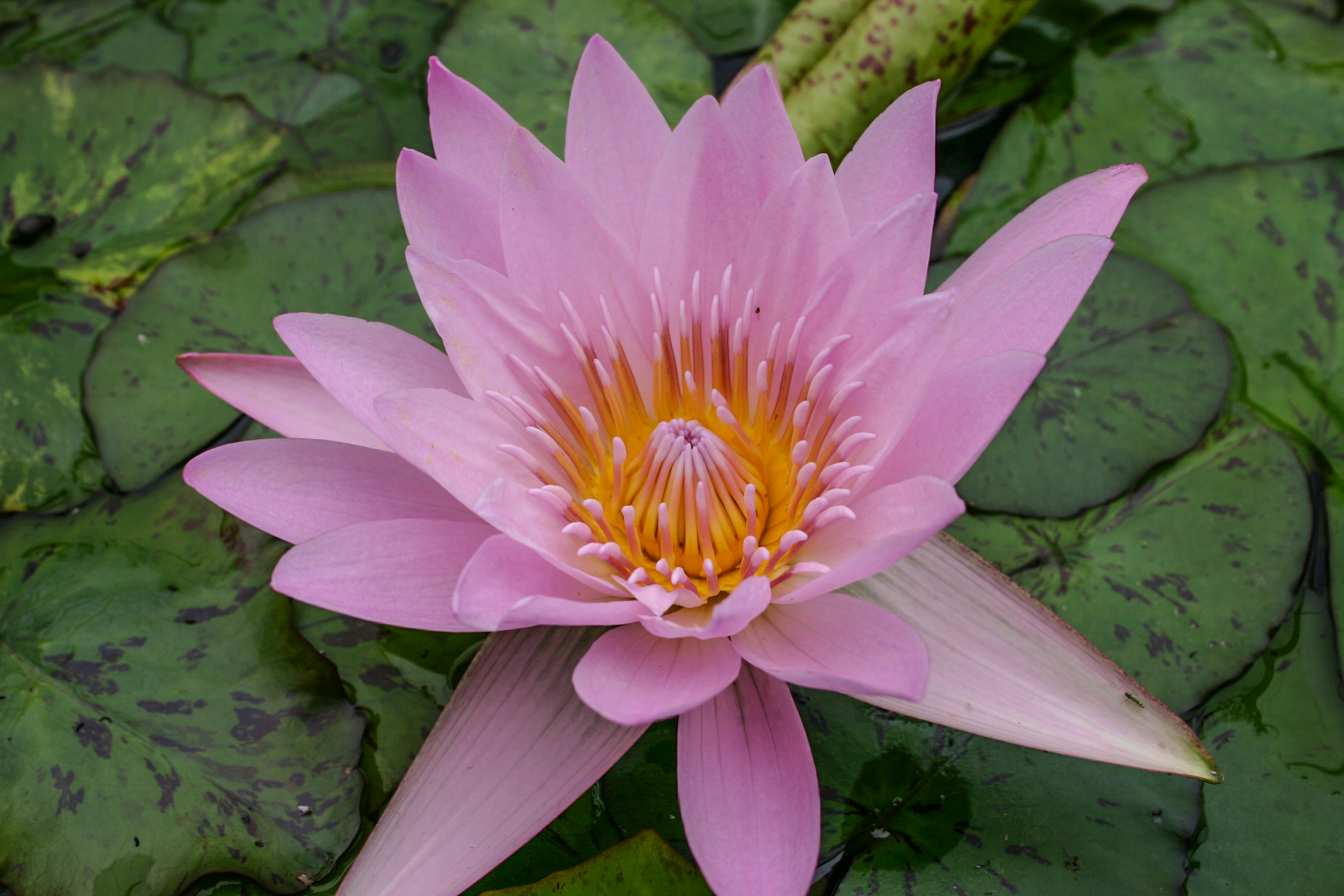 Nymphaea 'General Pershing' 2 (1 of 1).jpg