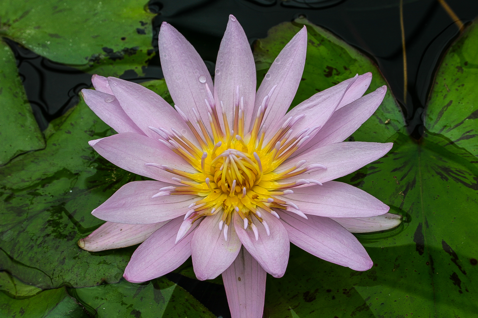 Nymphaea 'General Pershing' 3 (1 of 1).jpg