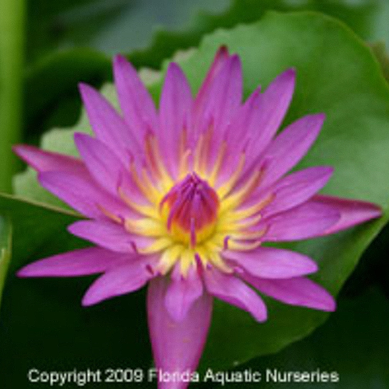 Nymphaea 'Pink Capensis' - Tropical