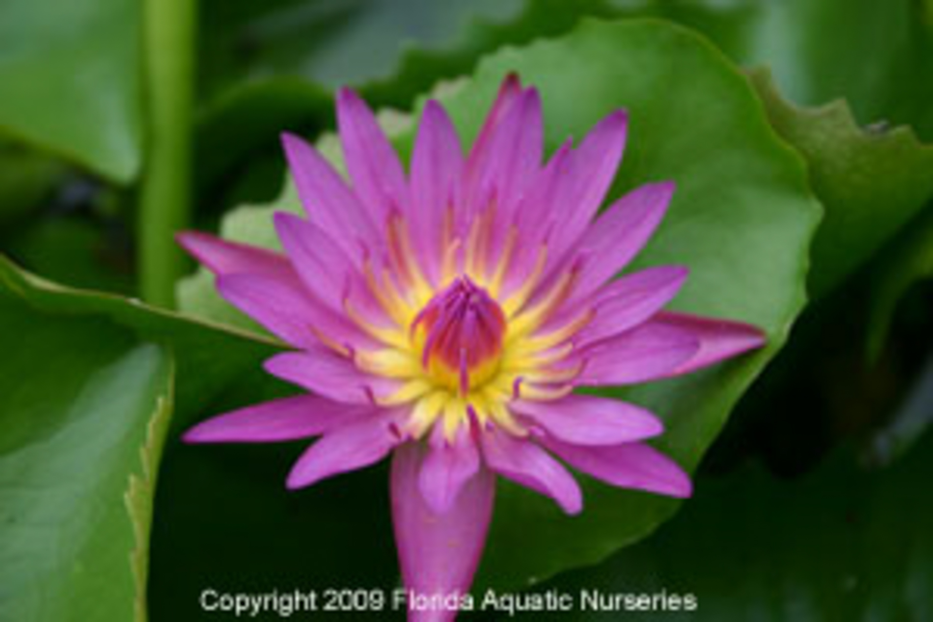 Nymphaea 'Pink Capensis' (1 of 1).jpg