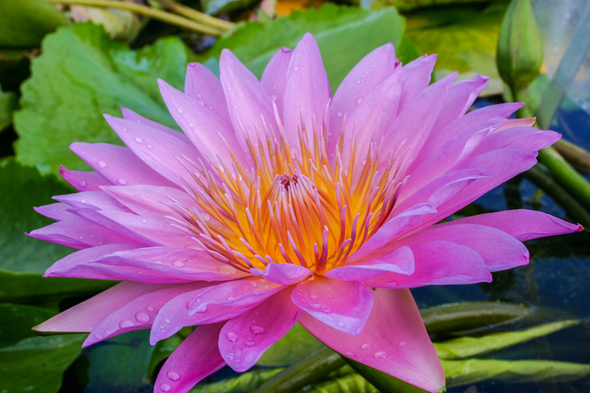 Nymphaea 'Pink Passion' (1 of 1).jpg