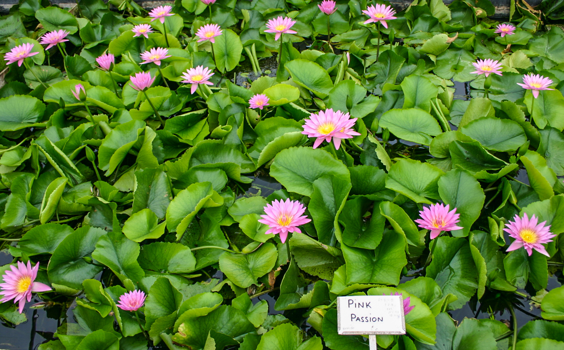Nymphaea 'Pink Passion' 2 (1 of 1).jpg