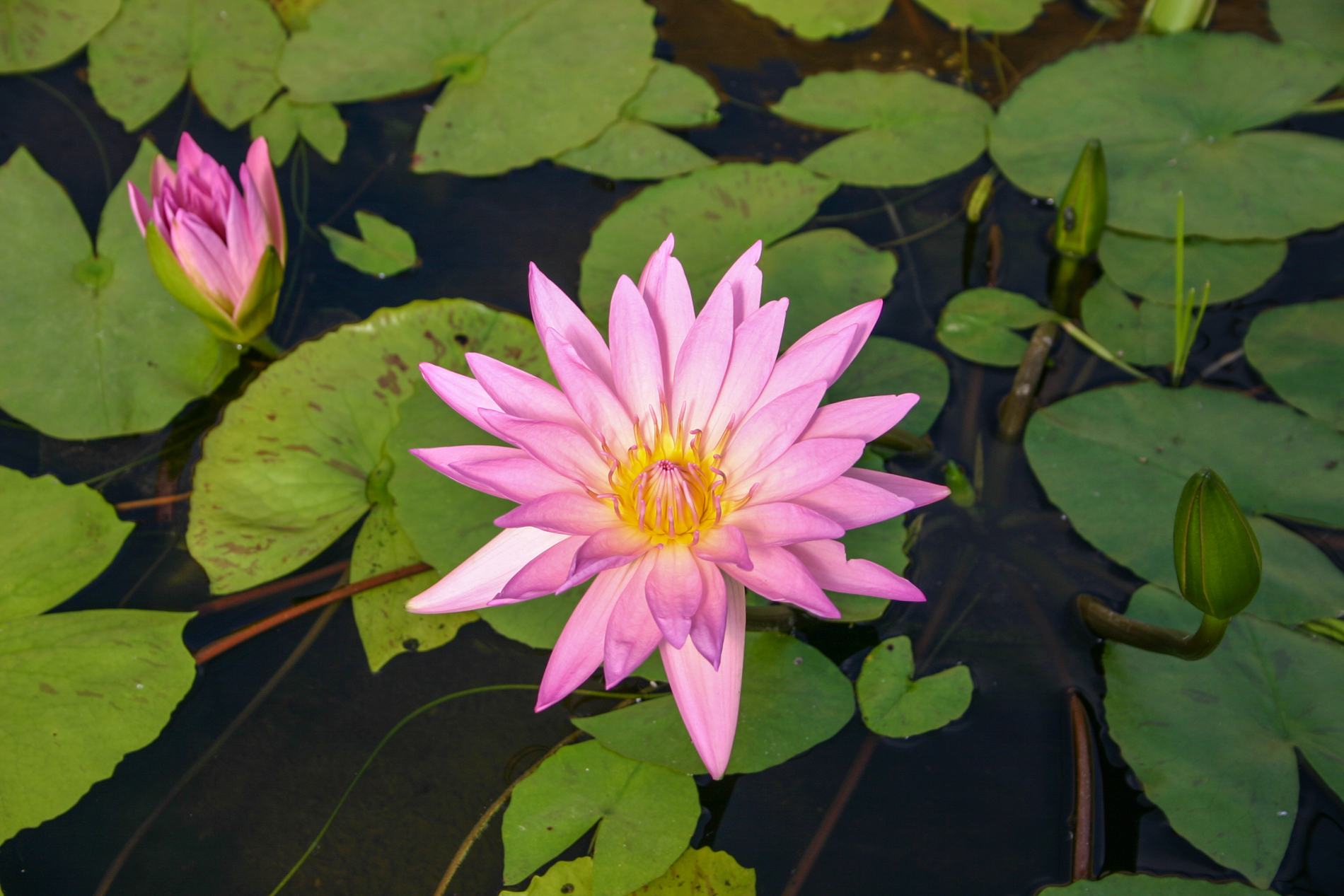 Nymphaea 'Pink Passion' 3 (1 of 1).jpg