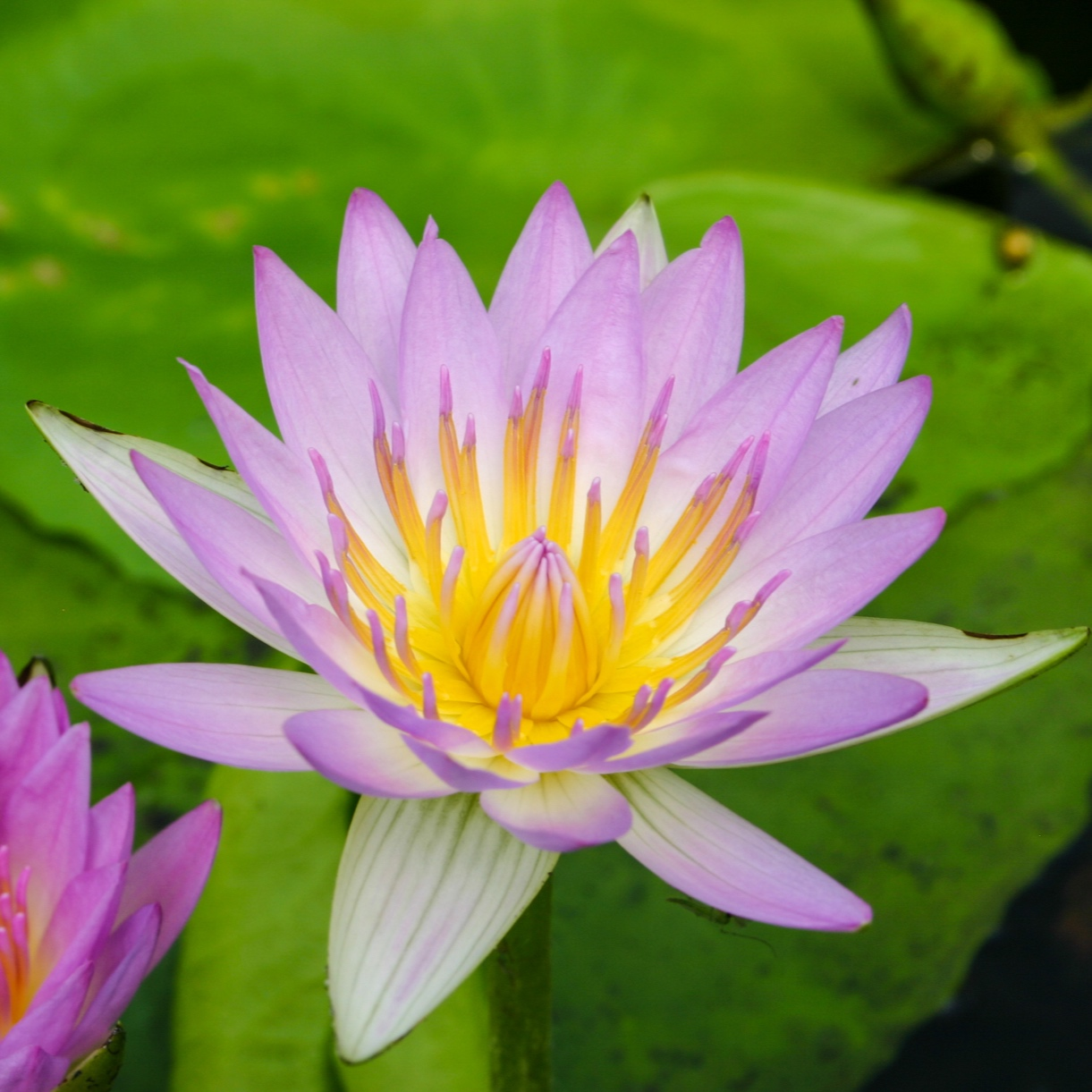 Nymphaea 'Pink Pearl' - Tropical