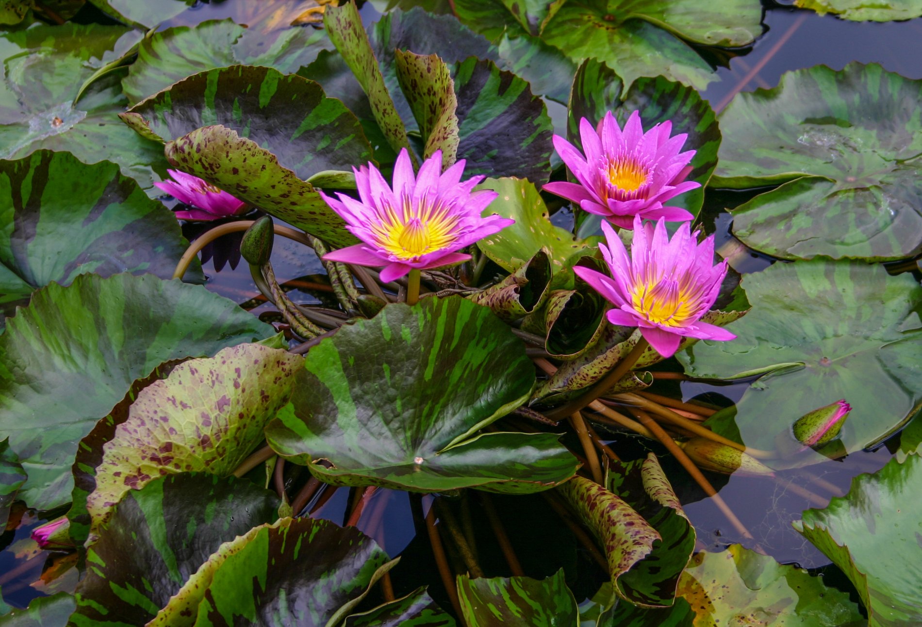 Nymphaea 'Queen of Siam' 2 (1 of 1).jpg