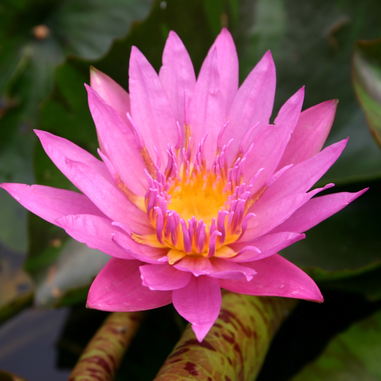 Nymphaea 'Queen of Siam' - Tropical