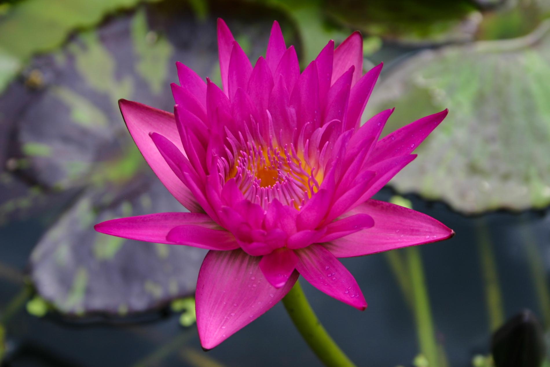 Nymphaea 'Miami Rose' 3 (1 of 1).jpg
