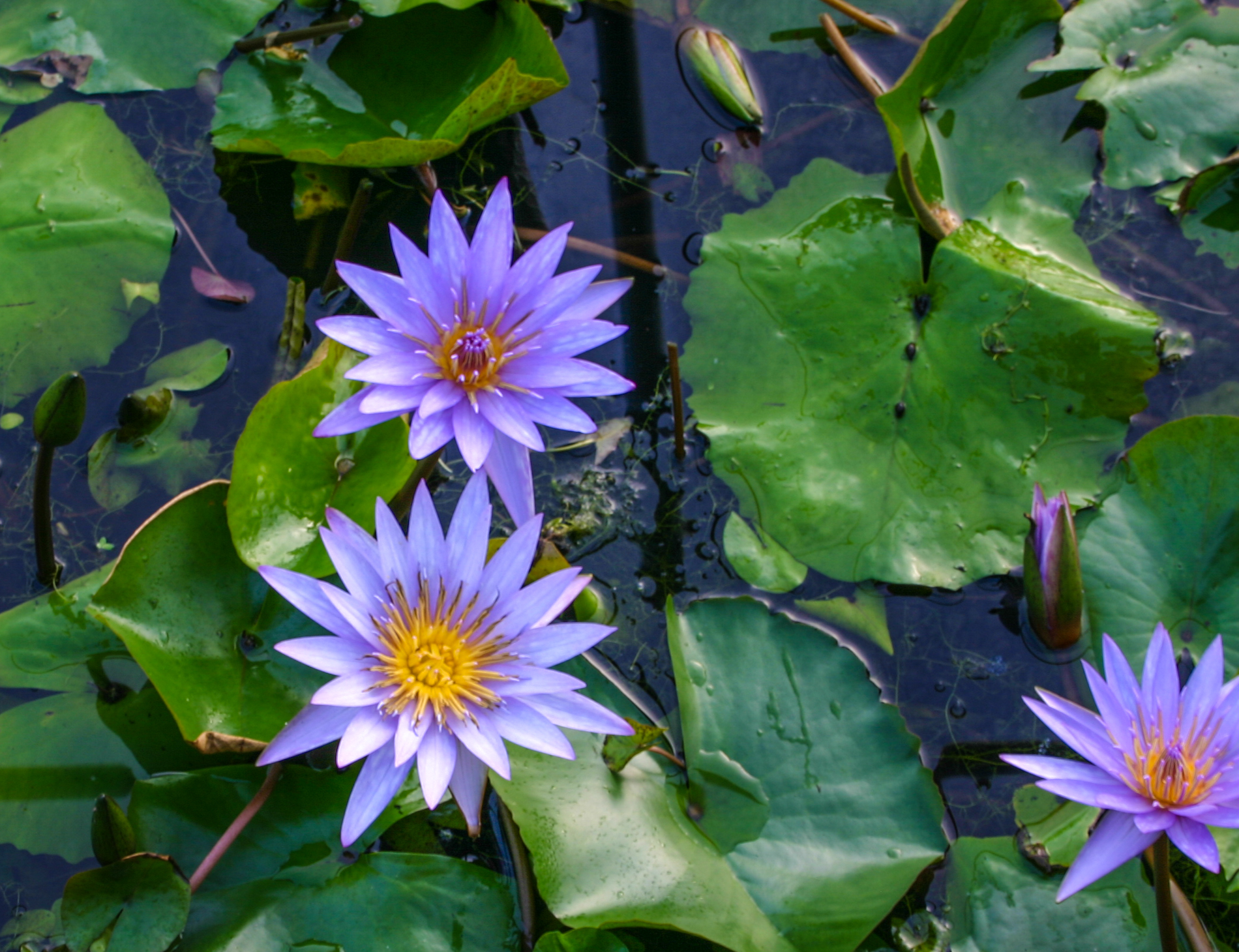 Nymphaea 'Islamorada' 2 (1 of 1).jpg