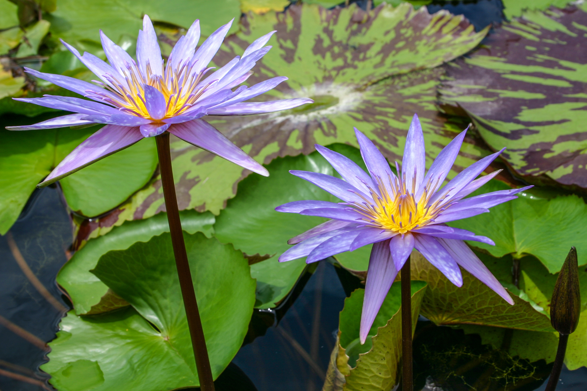 Nymphaea 'Islamorada' 4 (1 of 1).jpg