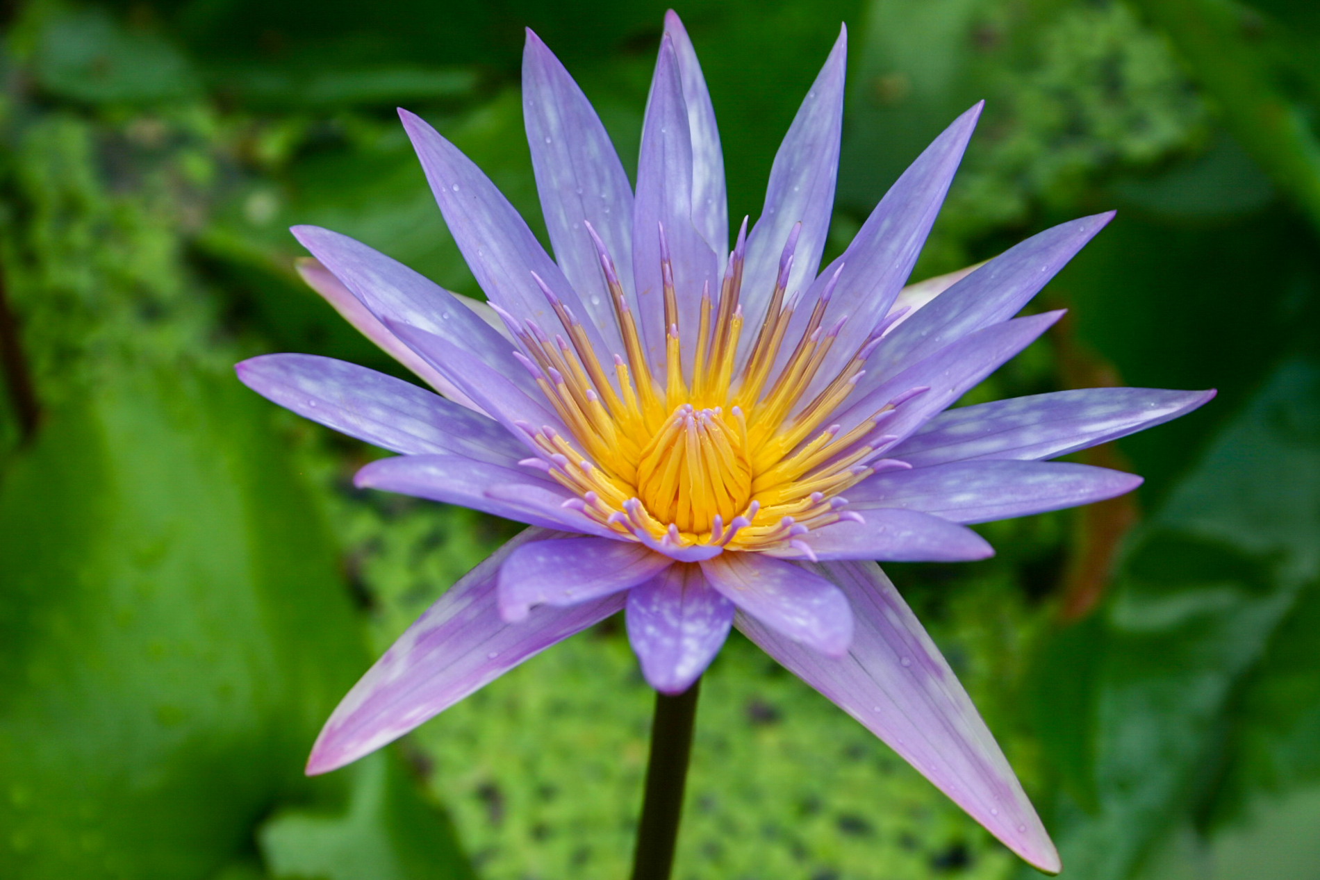 Nymphaea 'Islamorada' 5 (1 of 1).jpg