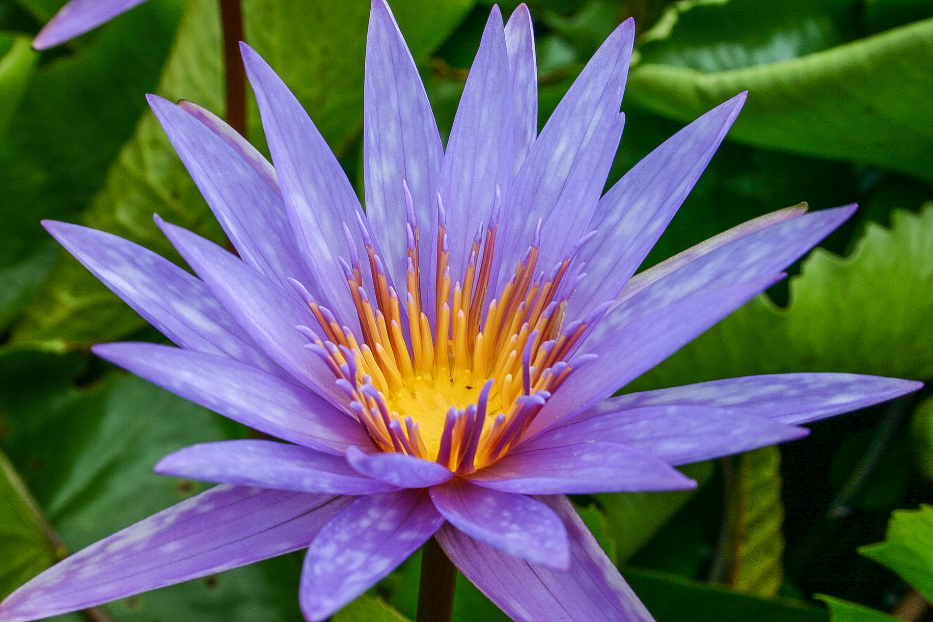 Nymphaea 'Islamorada' 6 (1 of 1).jpg