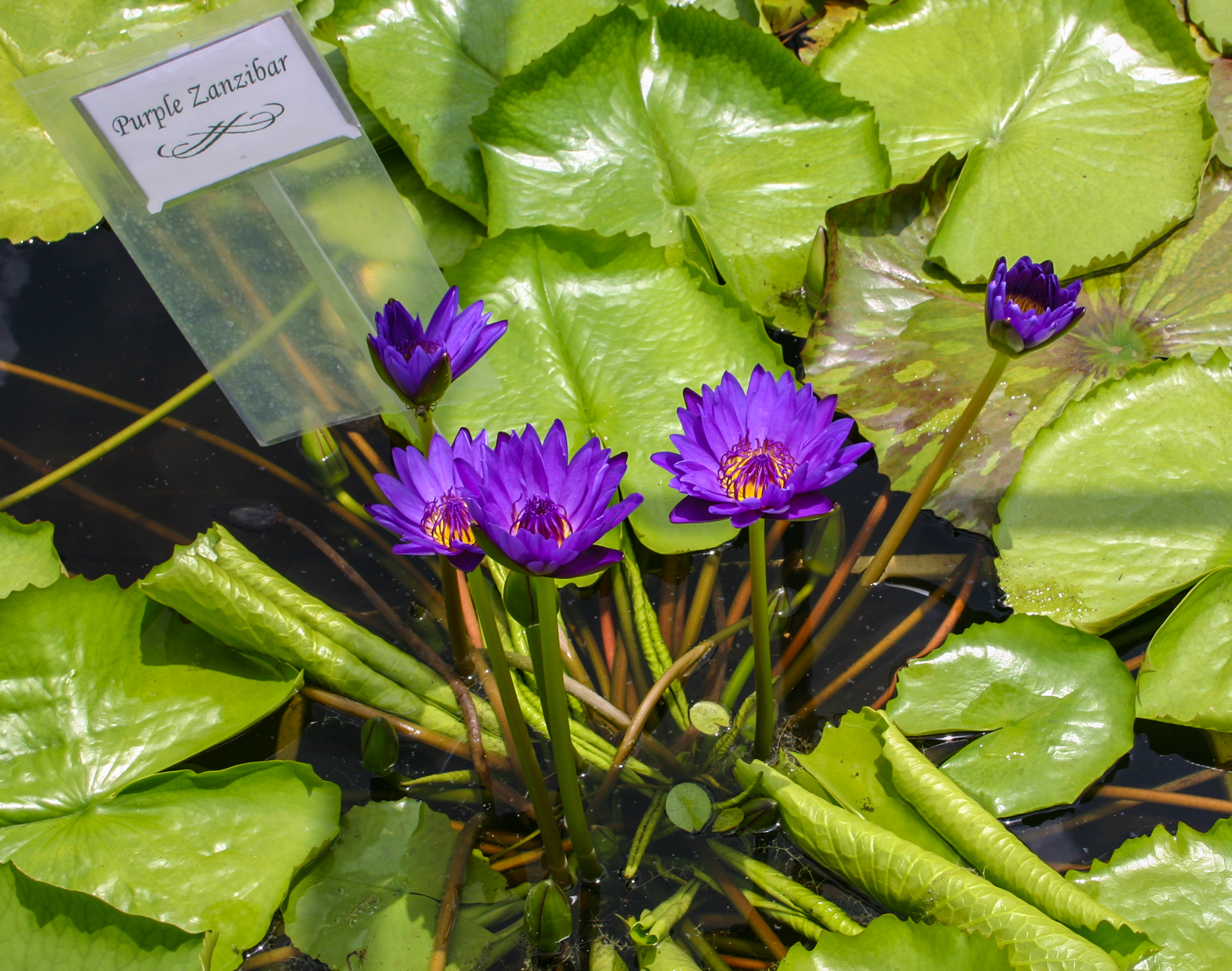Nymphaea 'Purple Zanzibar' 3 (1 of 1).jpg