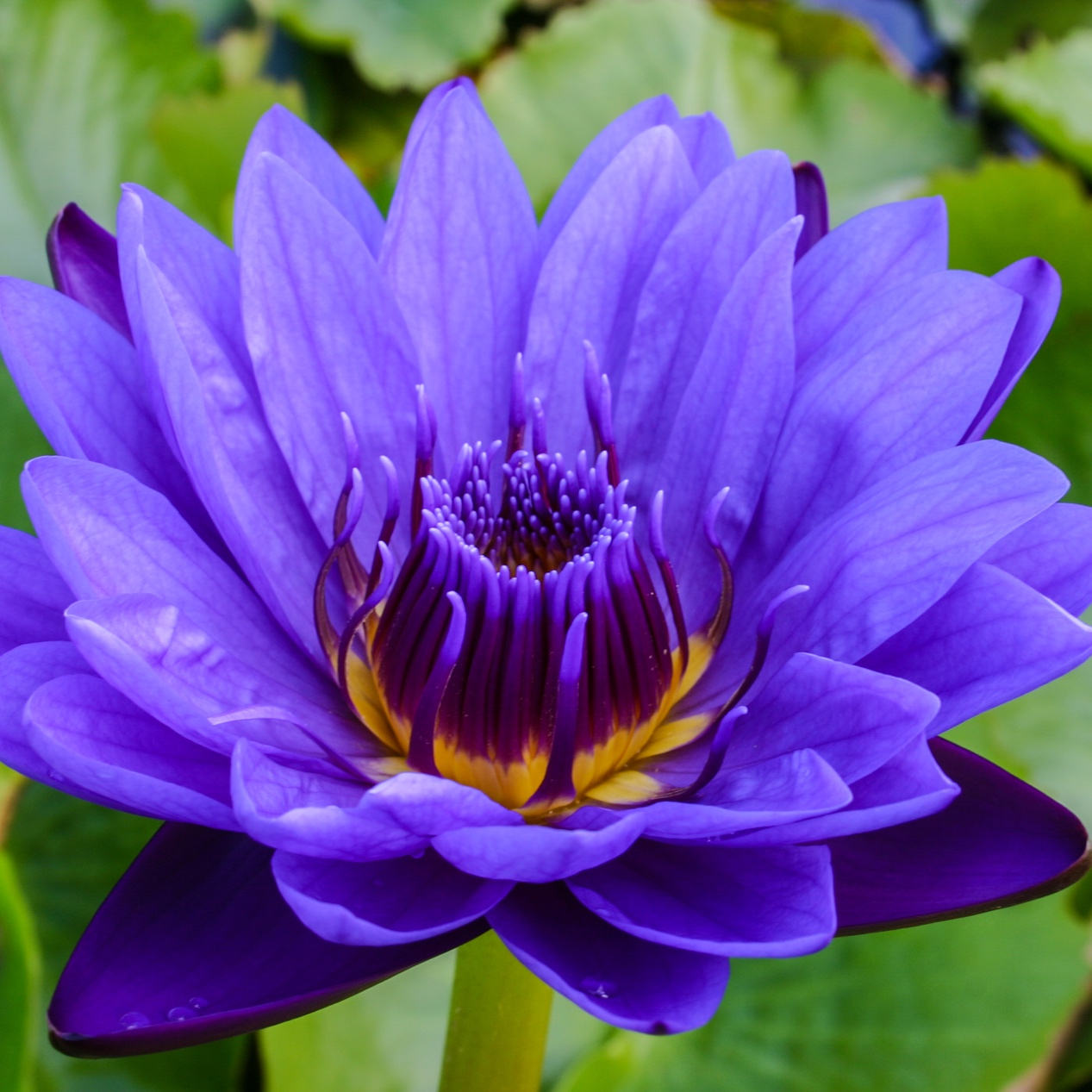 Nymphaea 'Purple Zanzibar' - Tropical