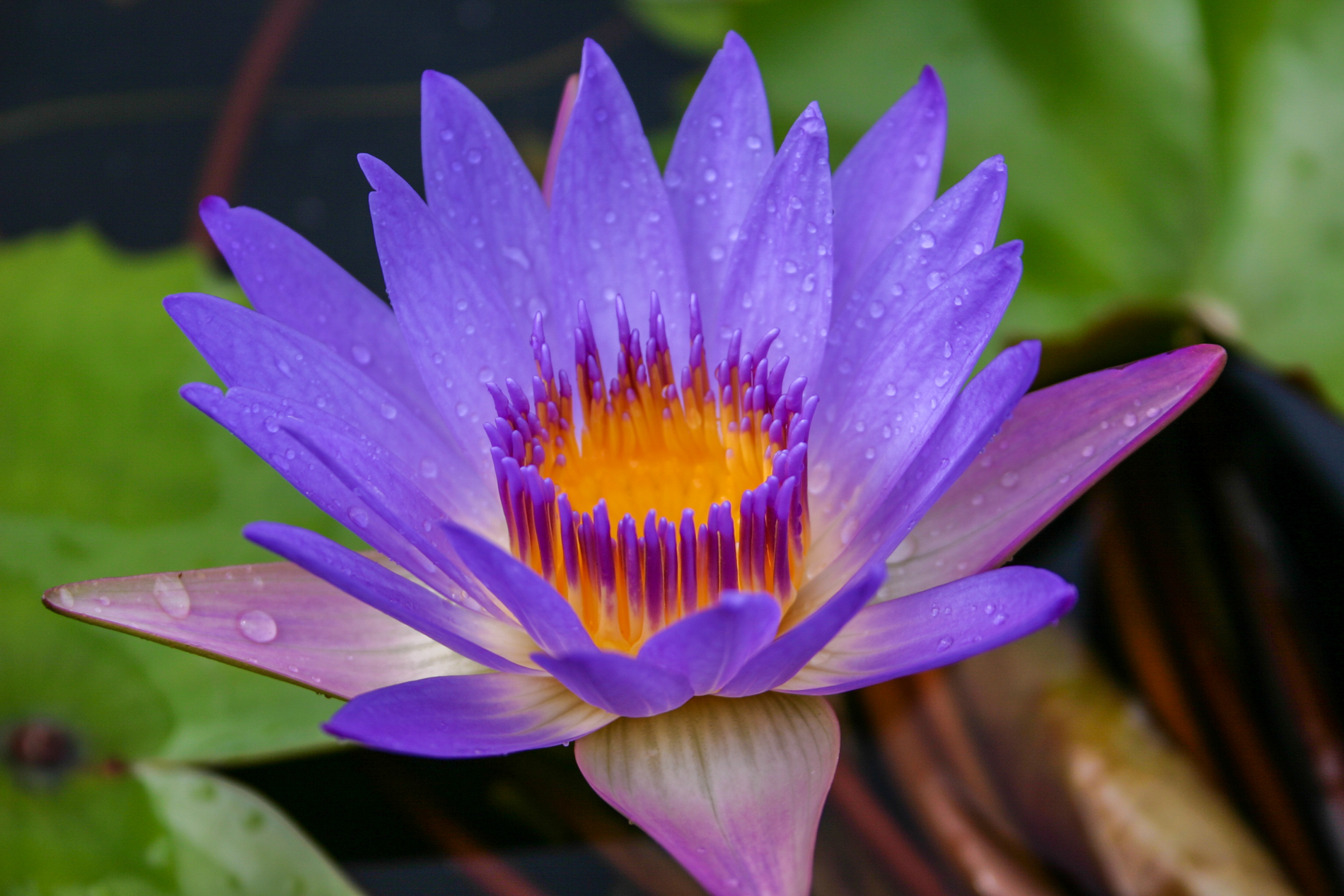 Nymphaea 'Tina' 2 (1 of 1).jpg