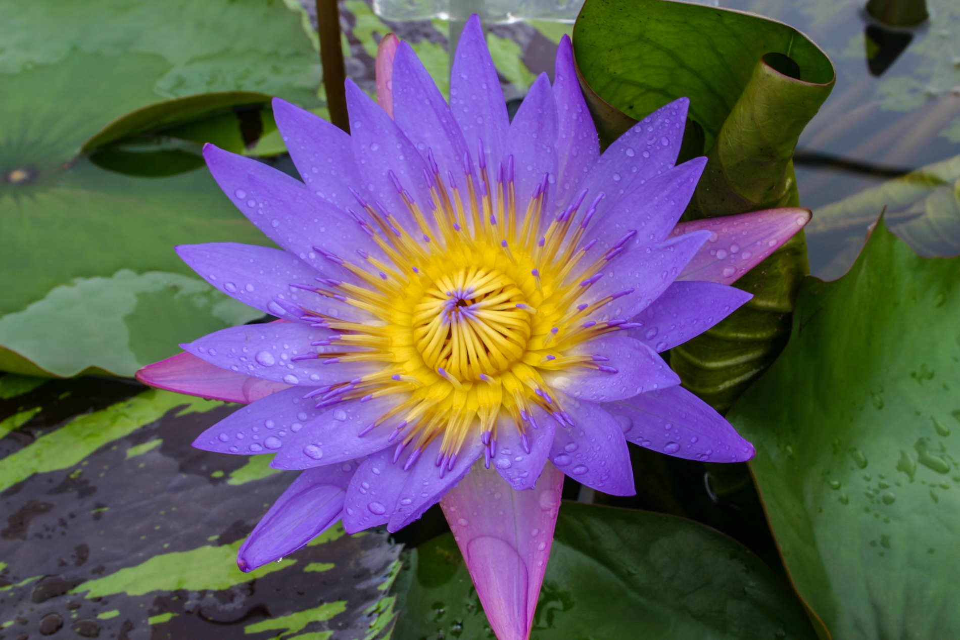 Nymphaea 'Tina' 3 (1 of 1).jpg