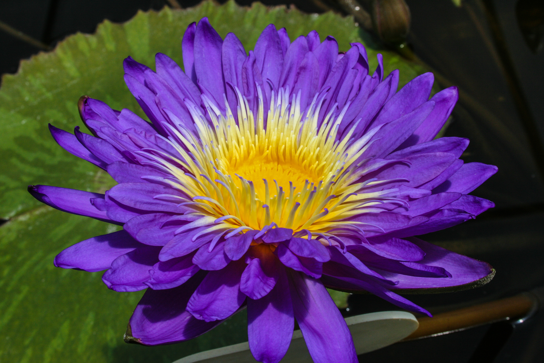 Nymphaea 'Ultra Violet' 6 (1 of 1).jpg