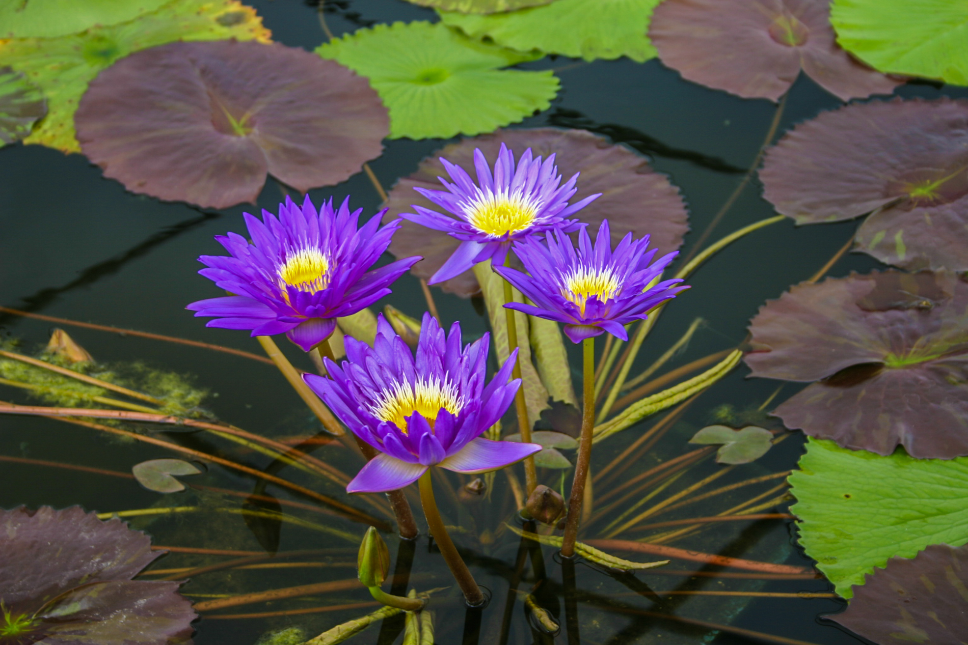 Nymphaea 'Ultra Violet' 4 (1 of 1).jpg