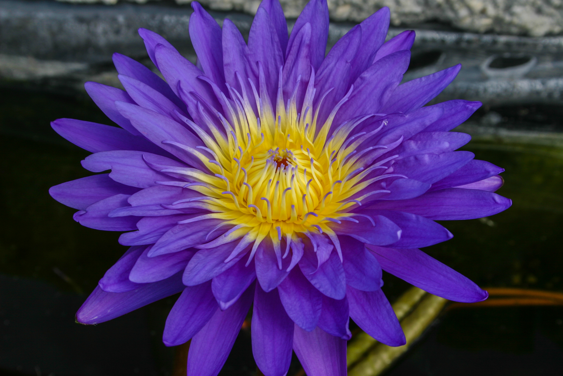 Nymphaea 'Ultra Violet' (1 of 1).jpg