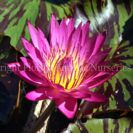 Nymphaea 'Doris Holt' - Tropical