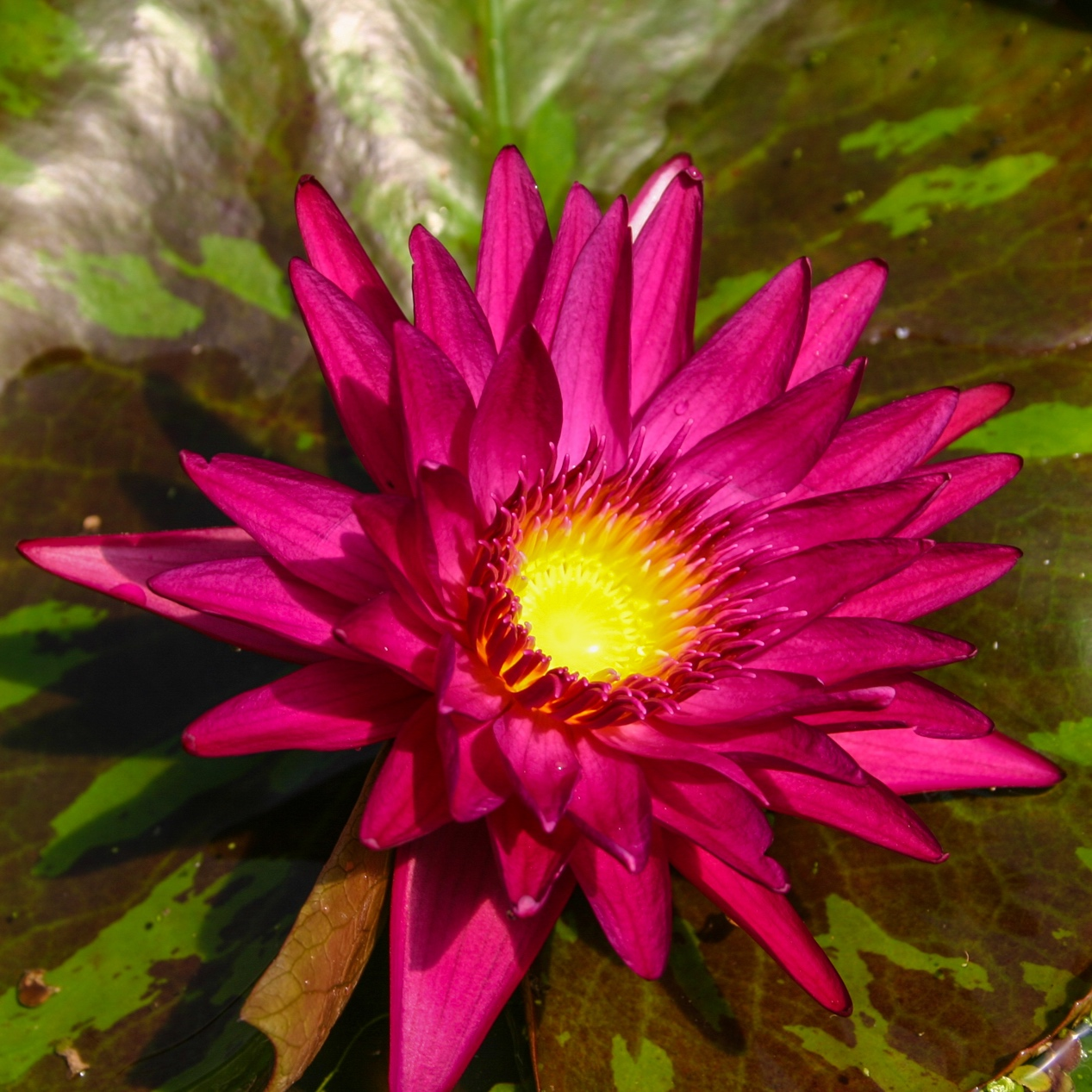 Nymphaea 'Virginia Mclane' - Tropical