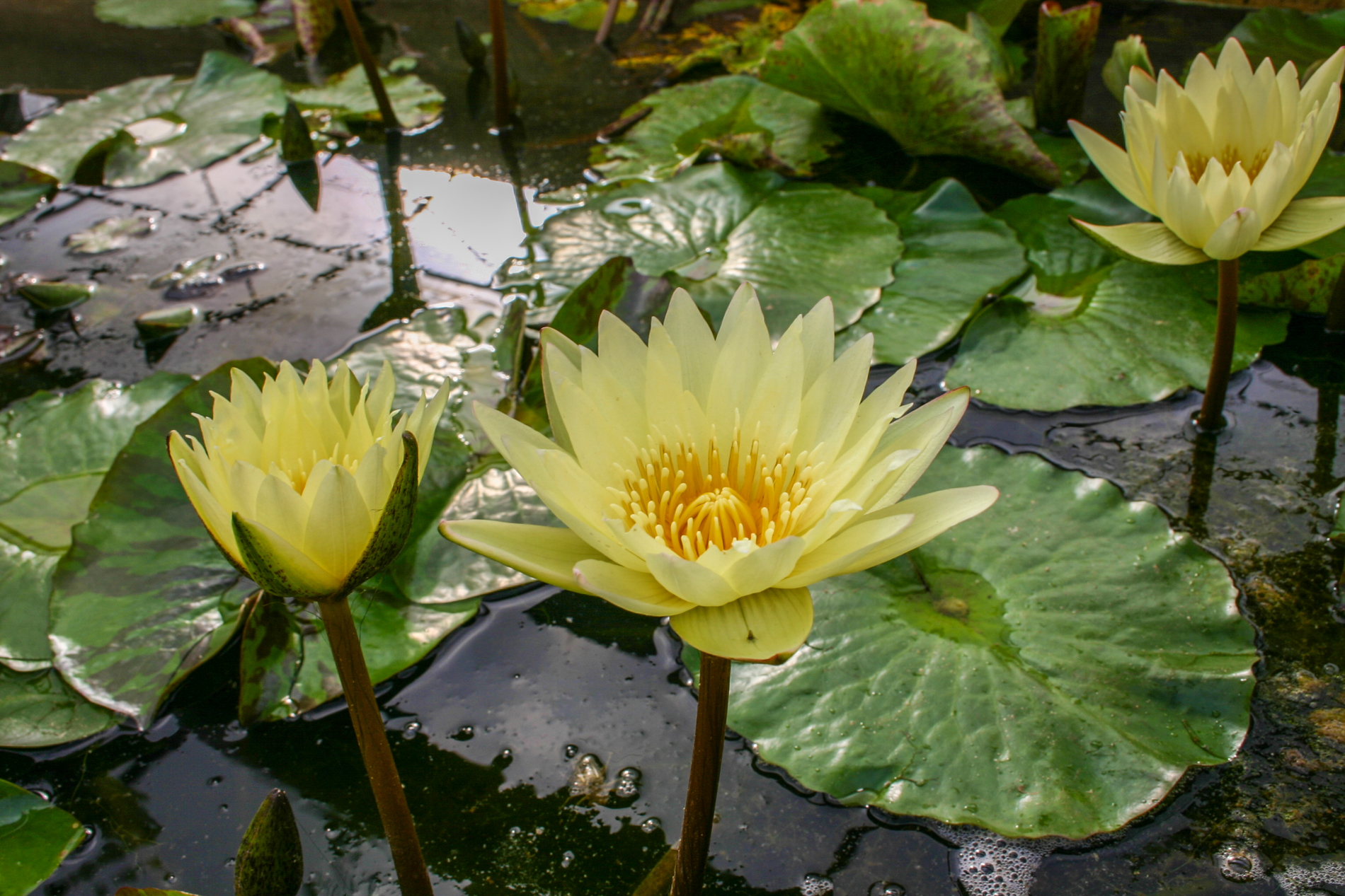 Nymphaea 'Carla's Sonshine' (1 of 1).jpg