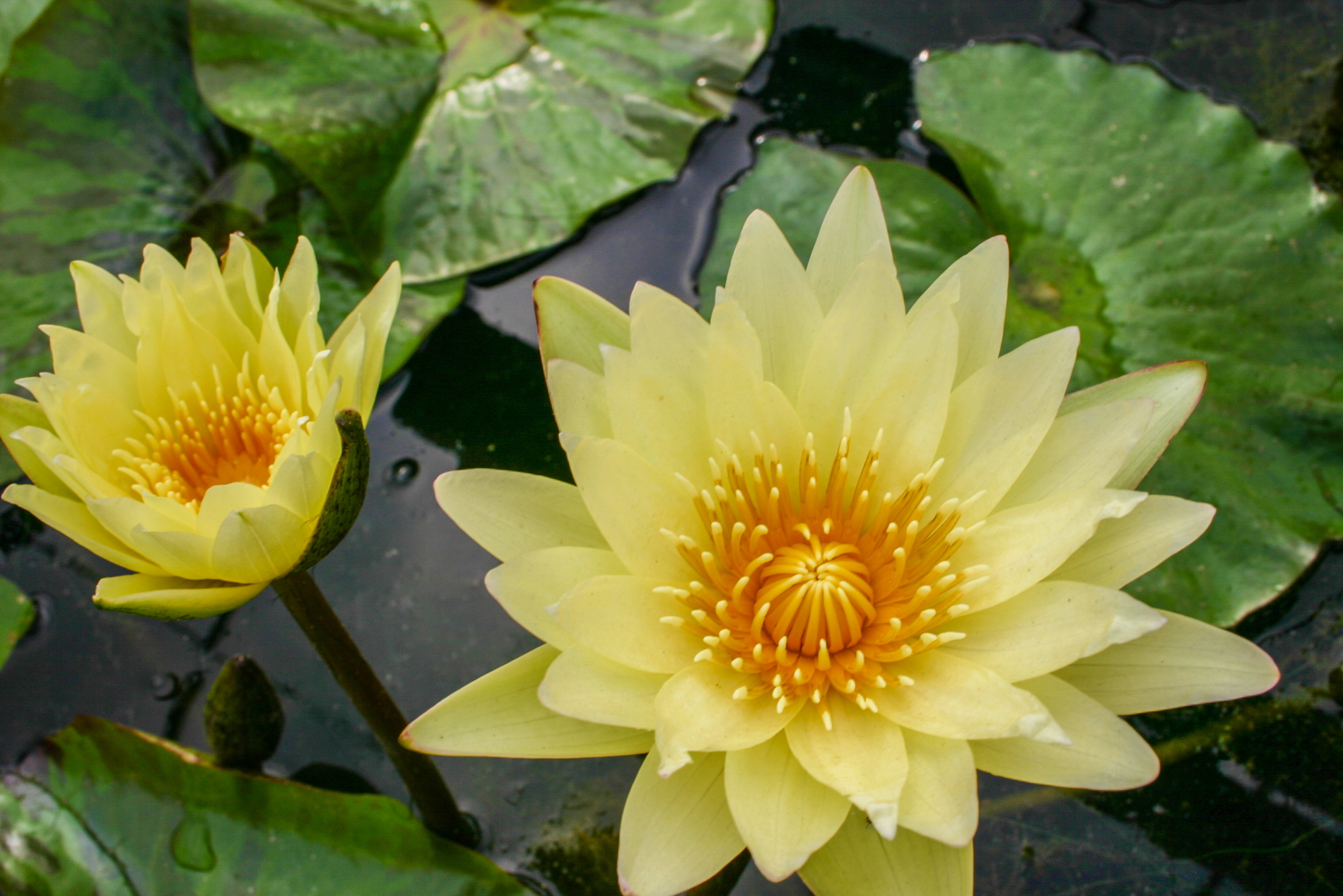Nymphaea 'Carla's Sonshine' 3 (1 of 1).jpg