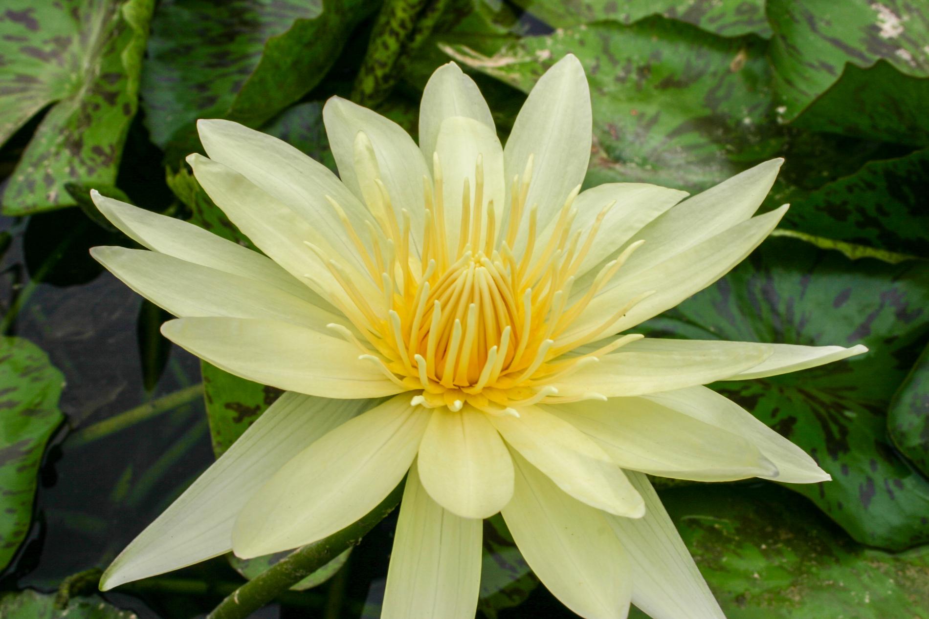 Nymphaea 'El Dorado' (1 of 1).jpg