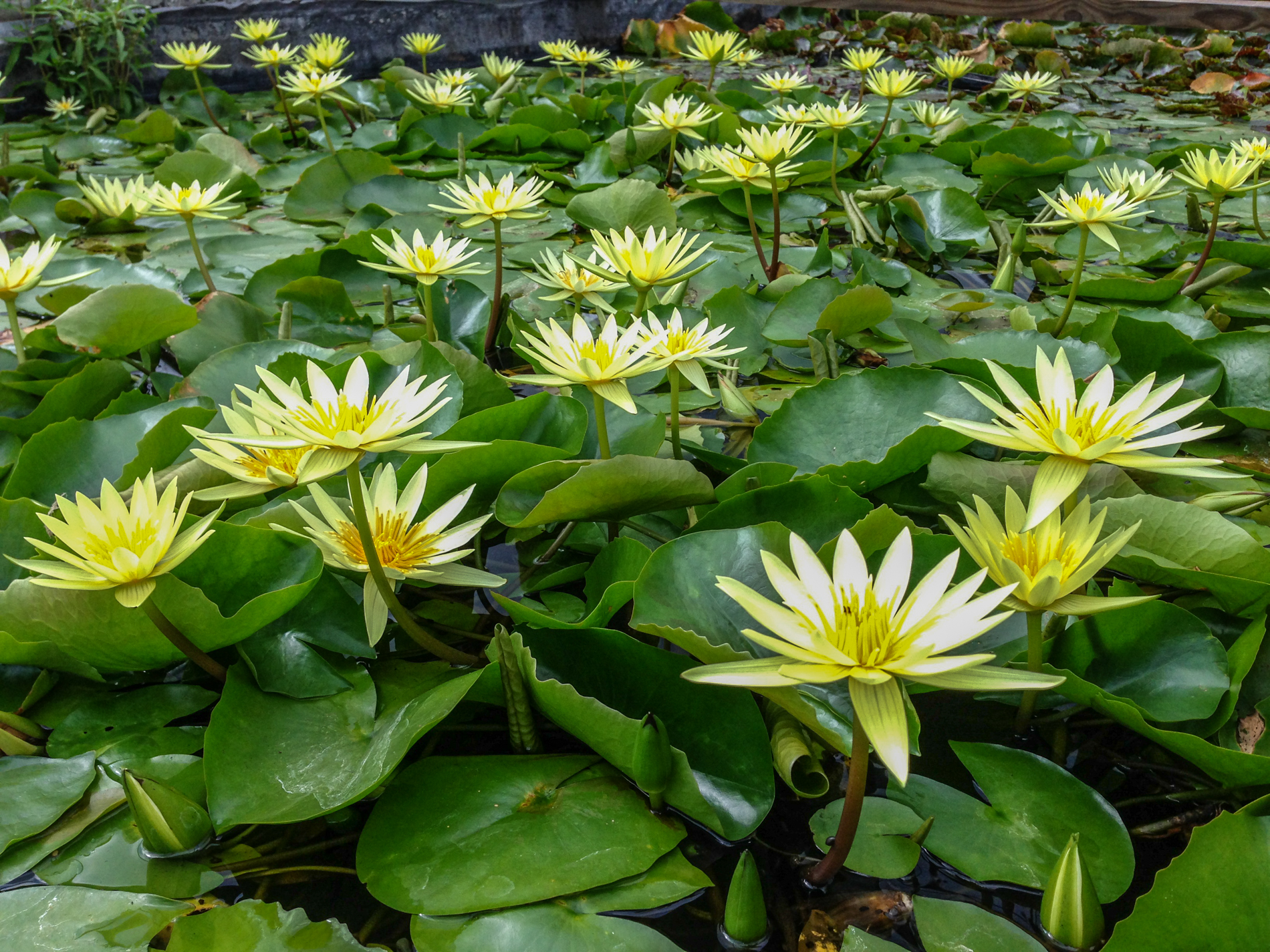 Nymphaea 'St Louis Gold'3 (1 of 1).jpg