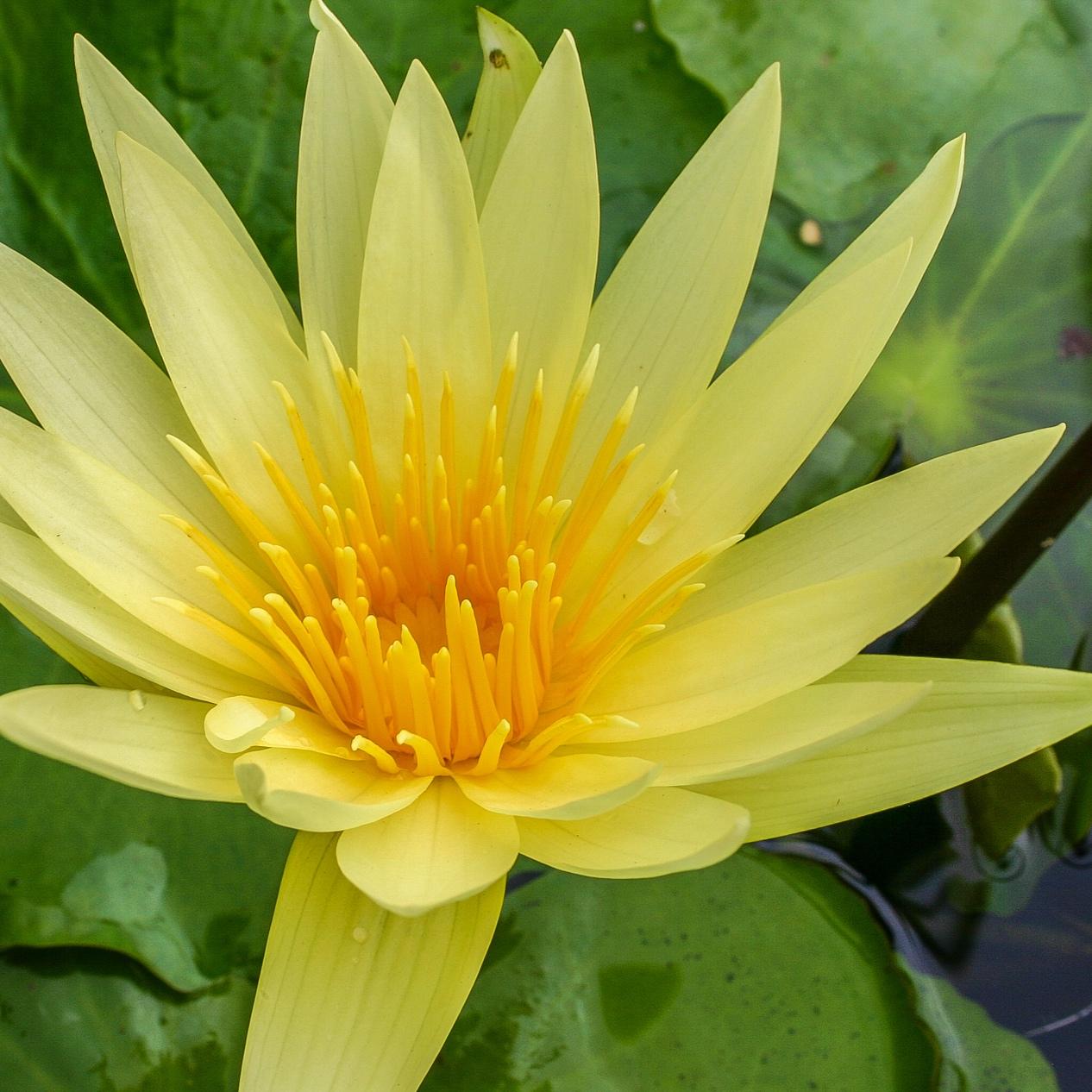 Nymphaea 'St. Louis Gold' - Tropical