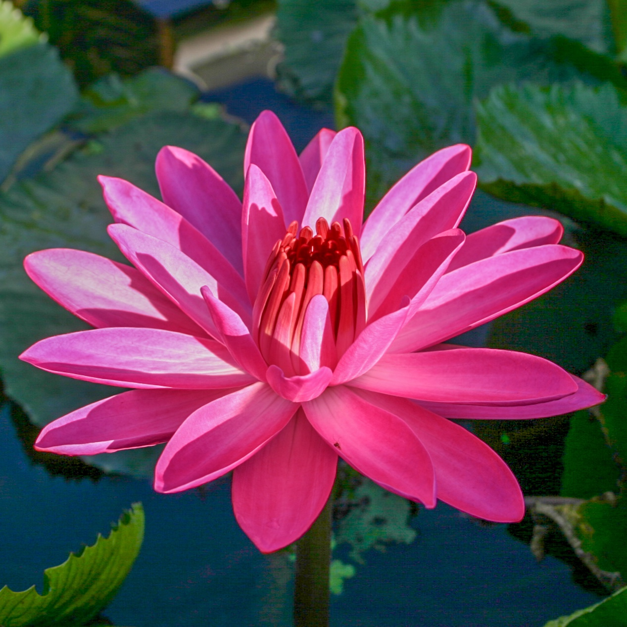 Nymphaea 'Emily Grant Hutchings' - Tropical Night blooming