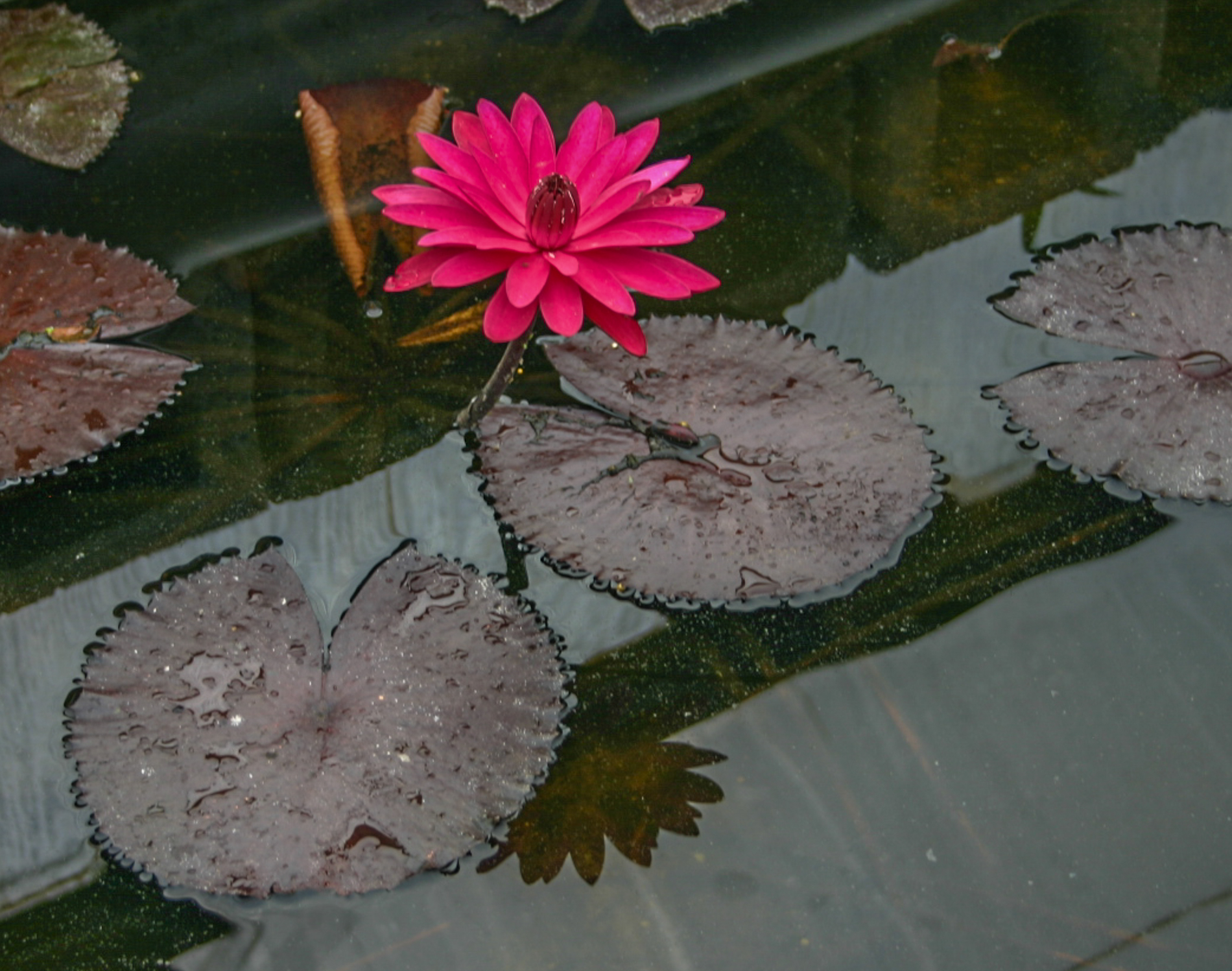Nymphaea 'Red Flare' 2 (1 of 1).jpg