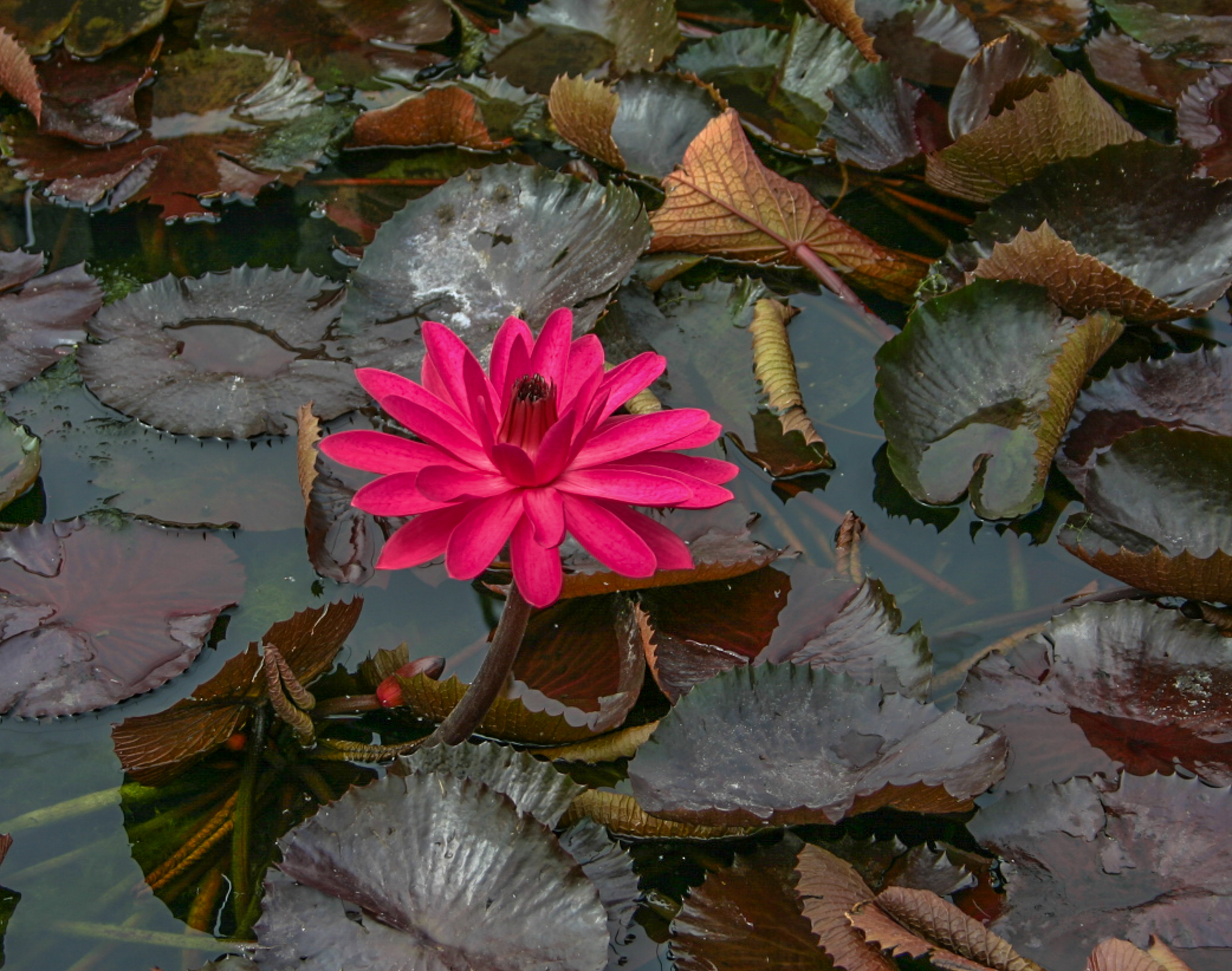 Nymphaea 'Red Flare' 3 (1 of 1).jpg