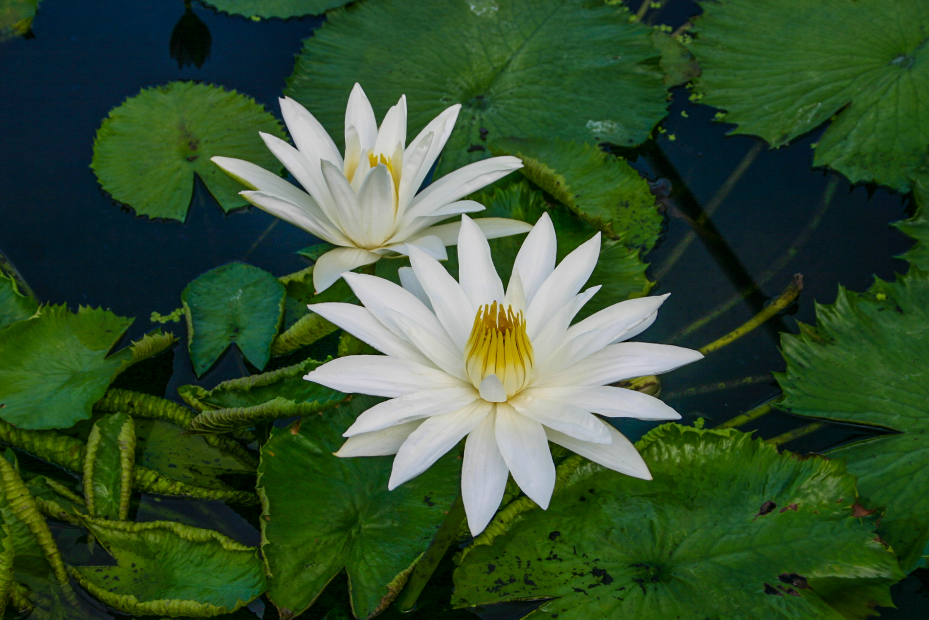 Nymphaea 'Juno' (1 of 1).jpg