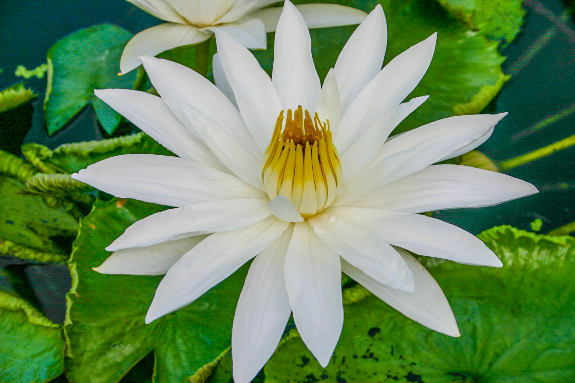 Nymphaea 'Juno' 2 (1 of 1).jpg