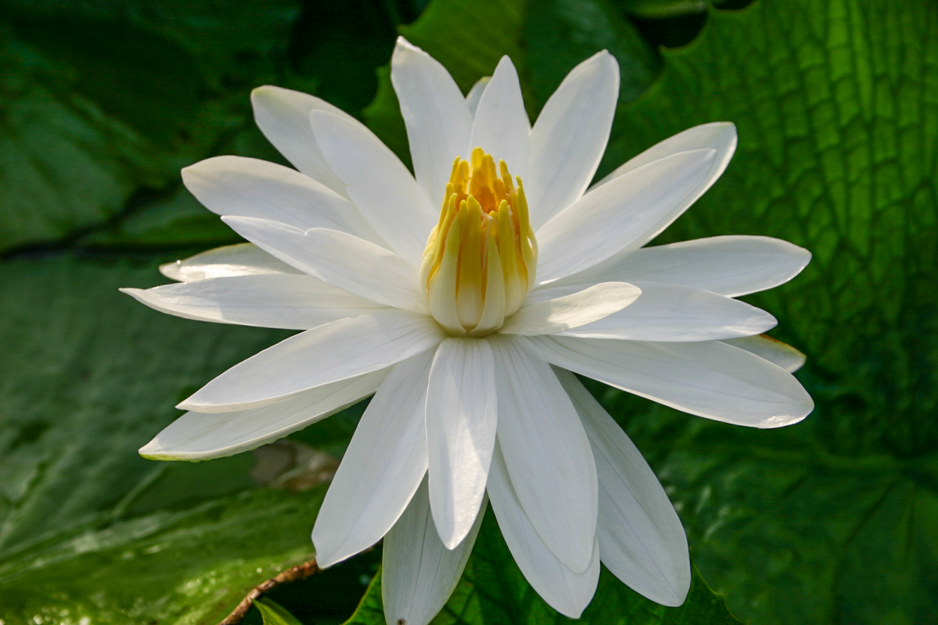 Nymphaea 'Woods White Knight' 2 (1 of 1).jpg