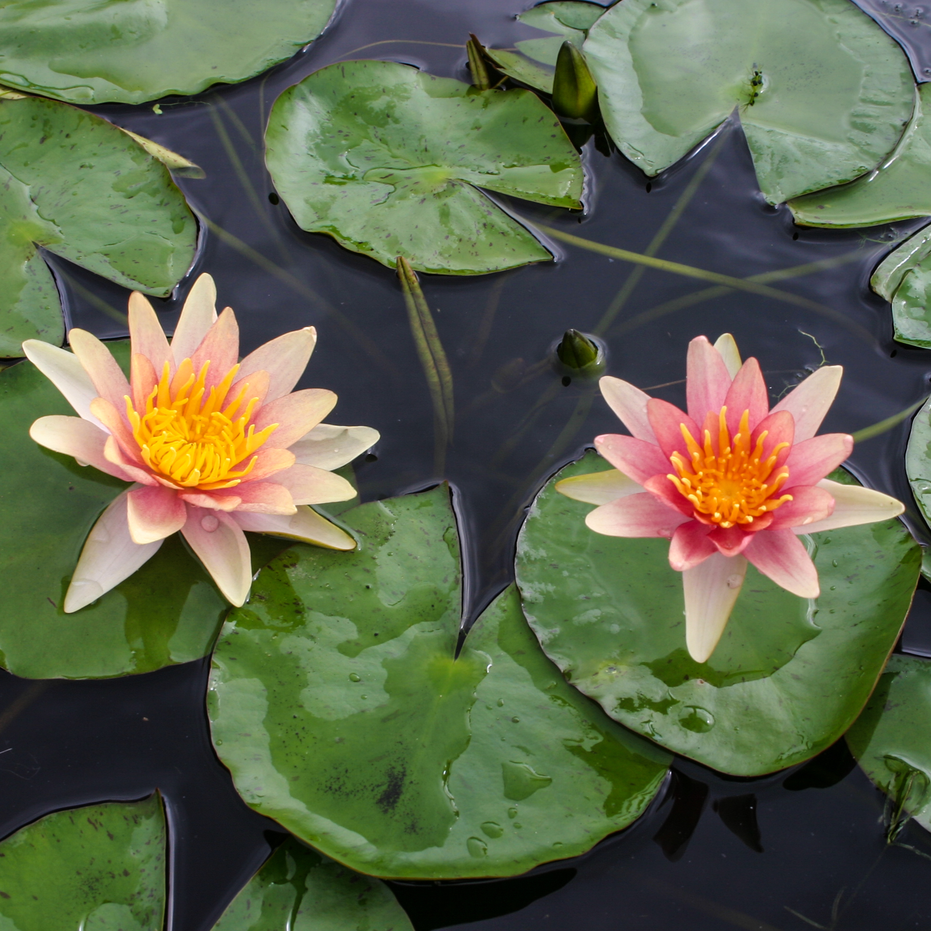 Nymphaea 'Sioux' - Hardy