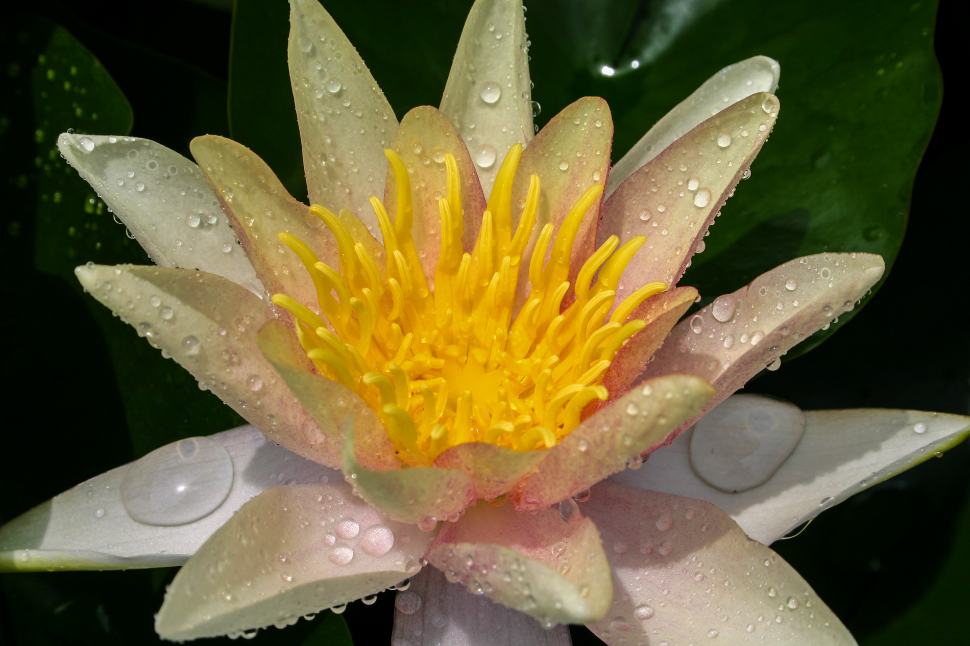 Nymphaea 'Sioux' 6 (1 of 1).jpg