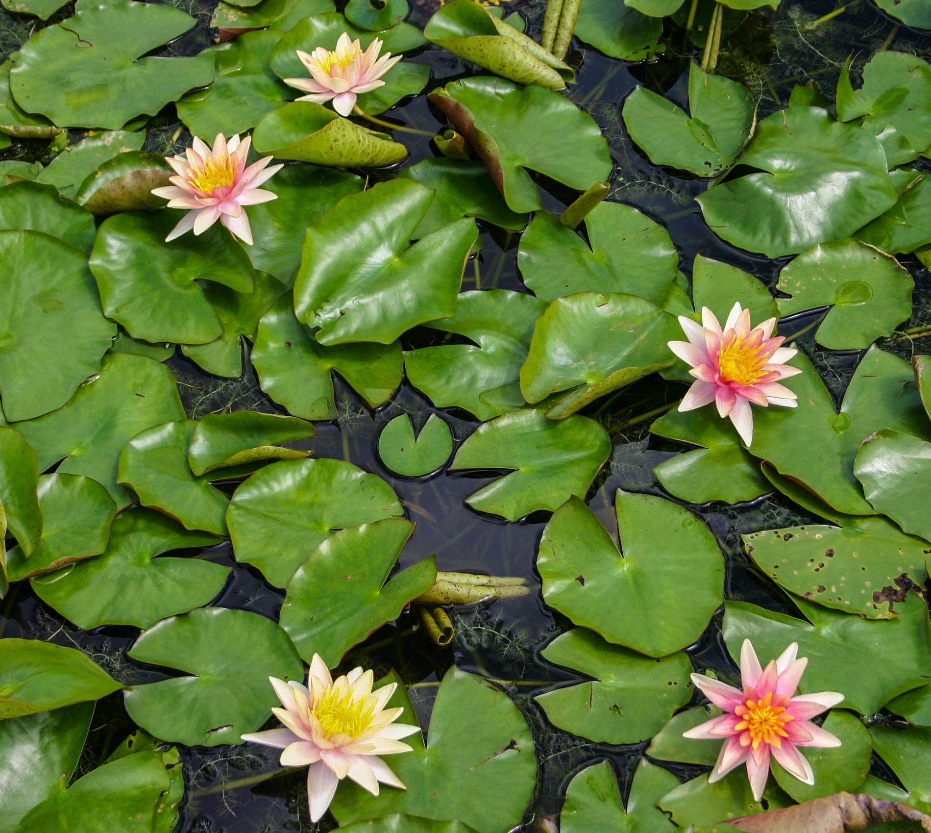Nymphaea 'Sioux' 3 (1 of 1).jpg