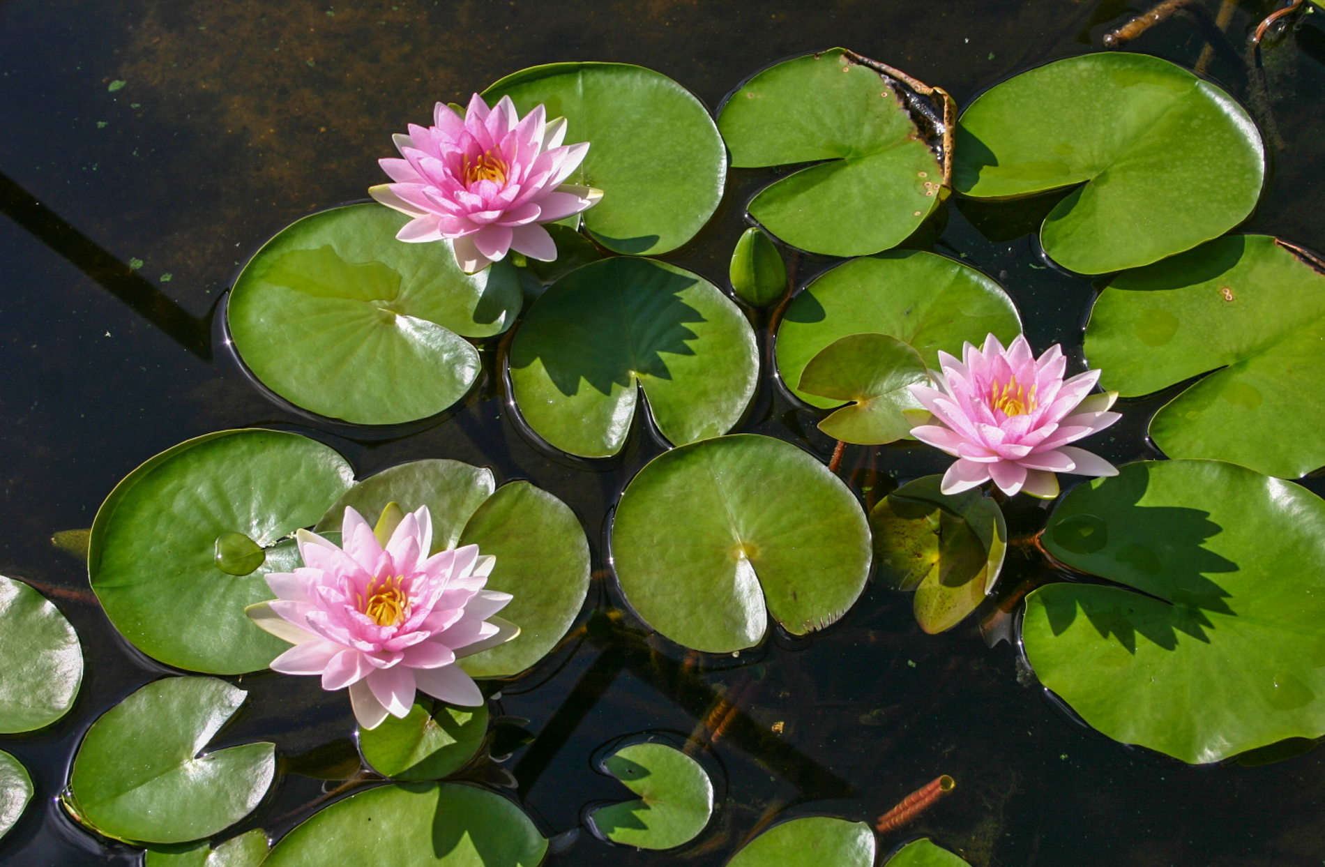 Nymphaea 'Mme. Wilfron Gonnere' (1 of 3).jpg