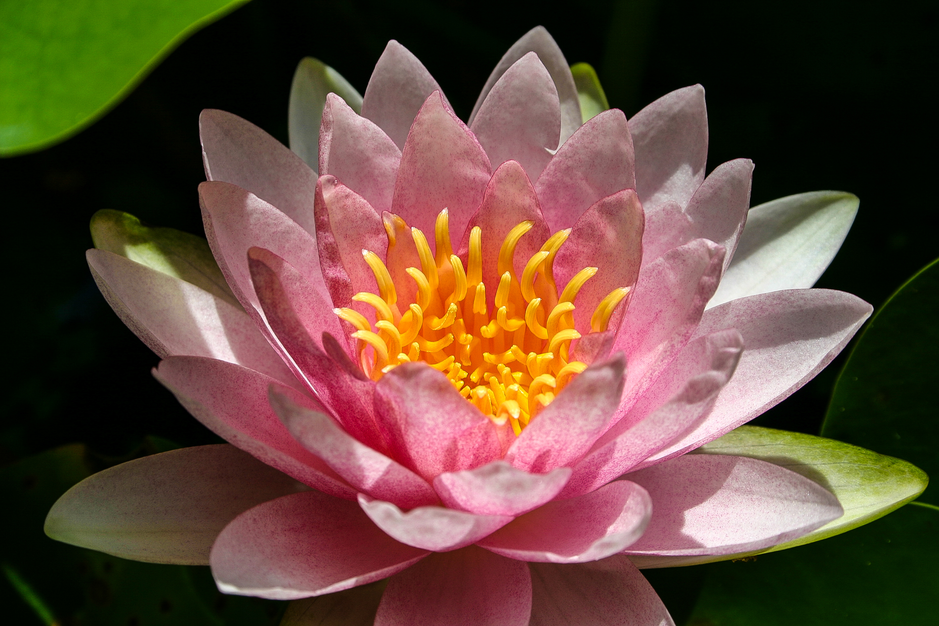 Nymphaea 'Mme. Wilfron Gonnere' (3 of 3).jpg