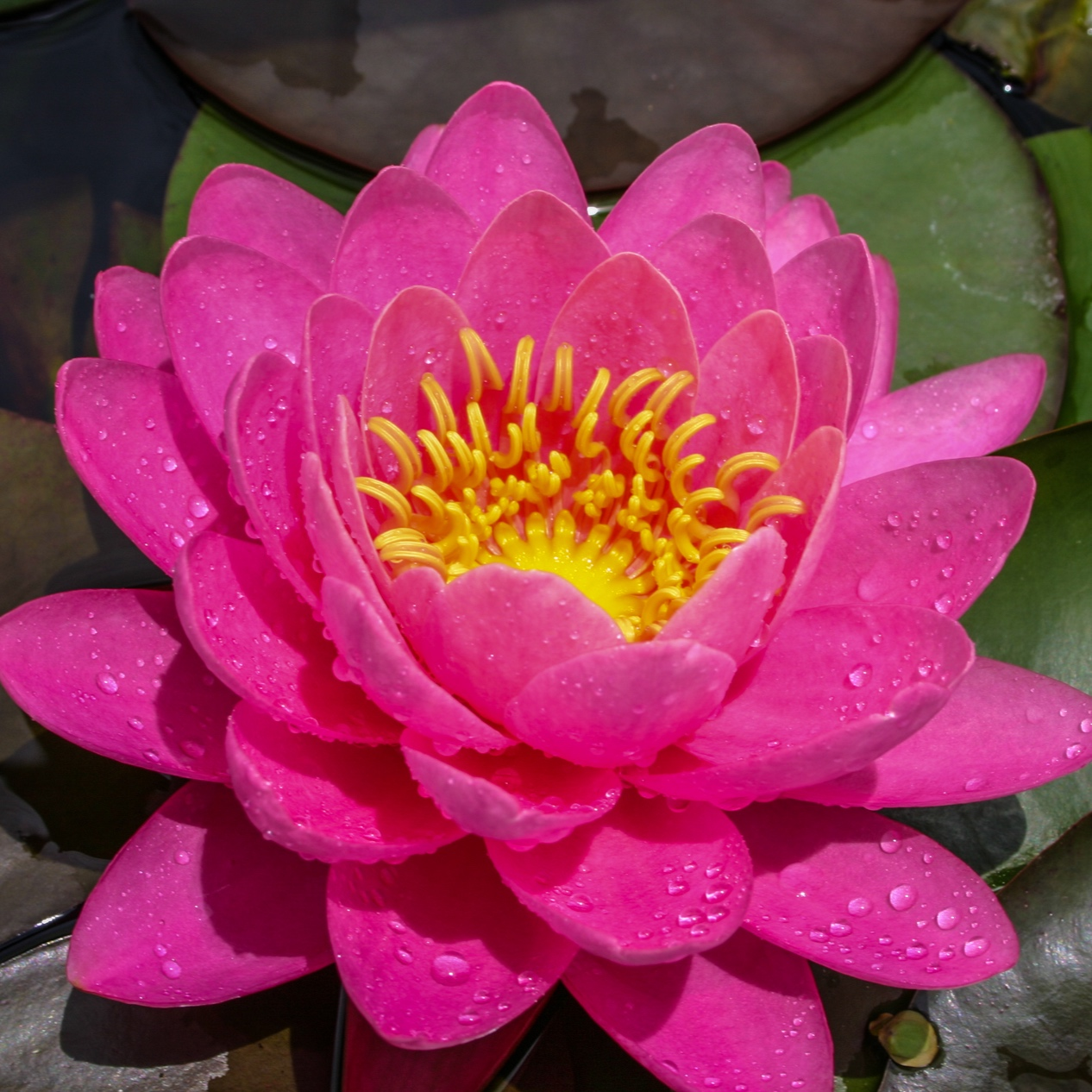 Nymphaea 'Perry's Fire Opal' - Hardy
