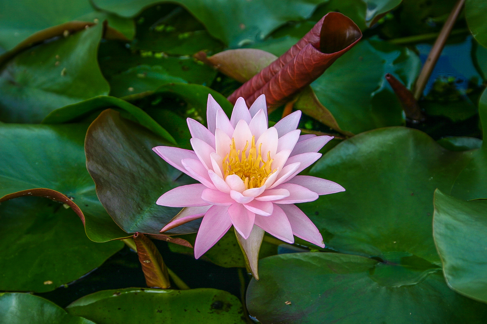 Nymphaea 'Pink Sunrise' (1 of 2).jpg