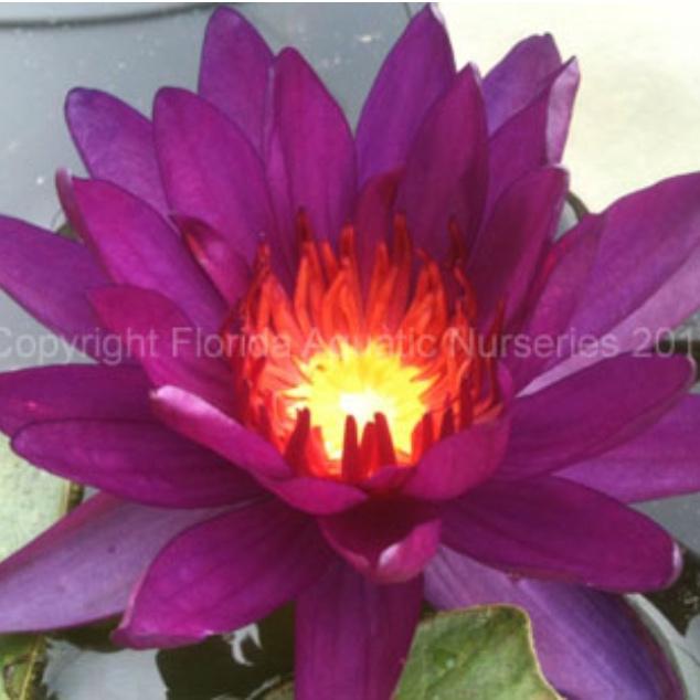 Nymphaea 'Purple Fantasy' - Hardy