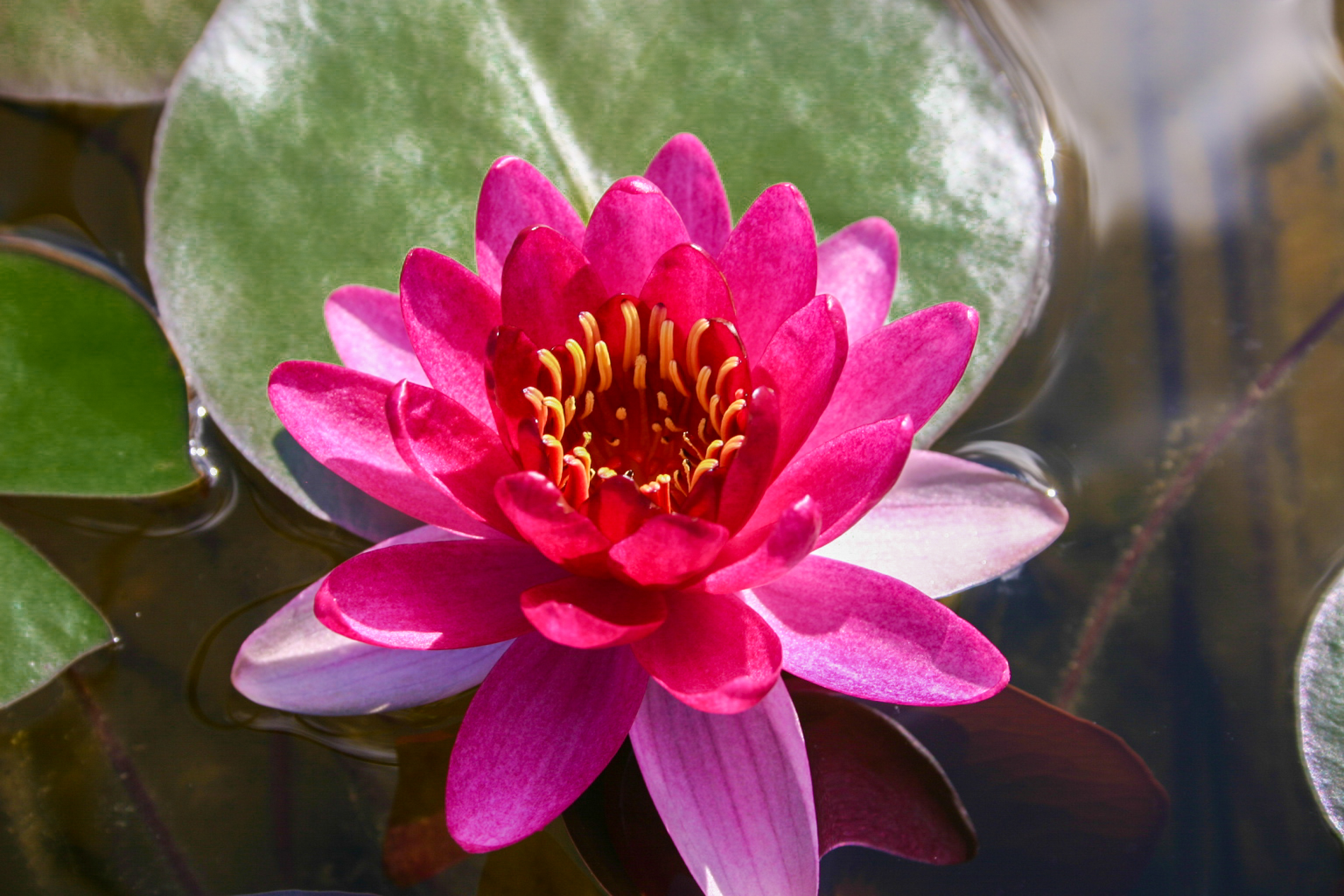 Nymphaea 'Perry's Baby Red' 2 (1 of 1).jpg